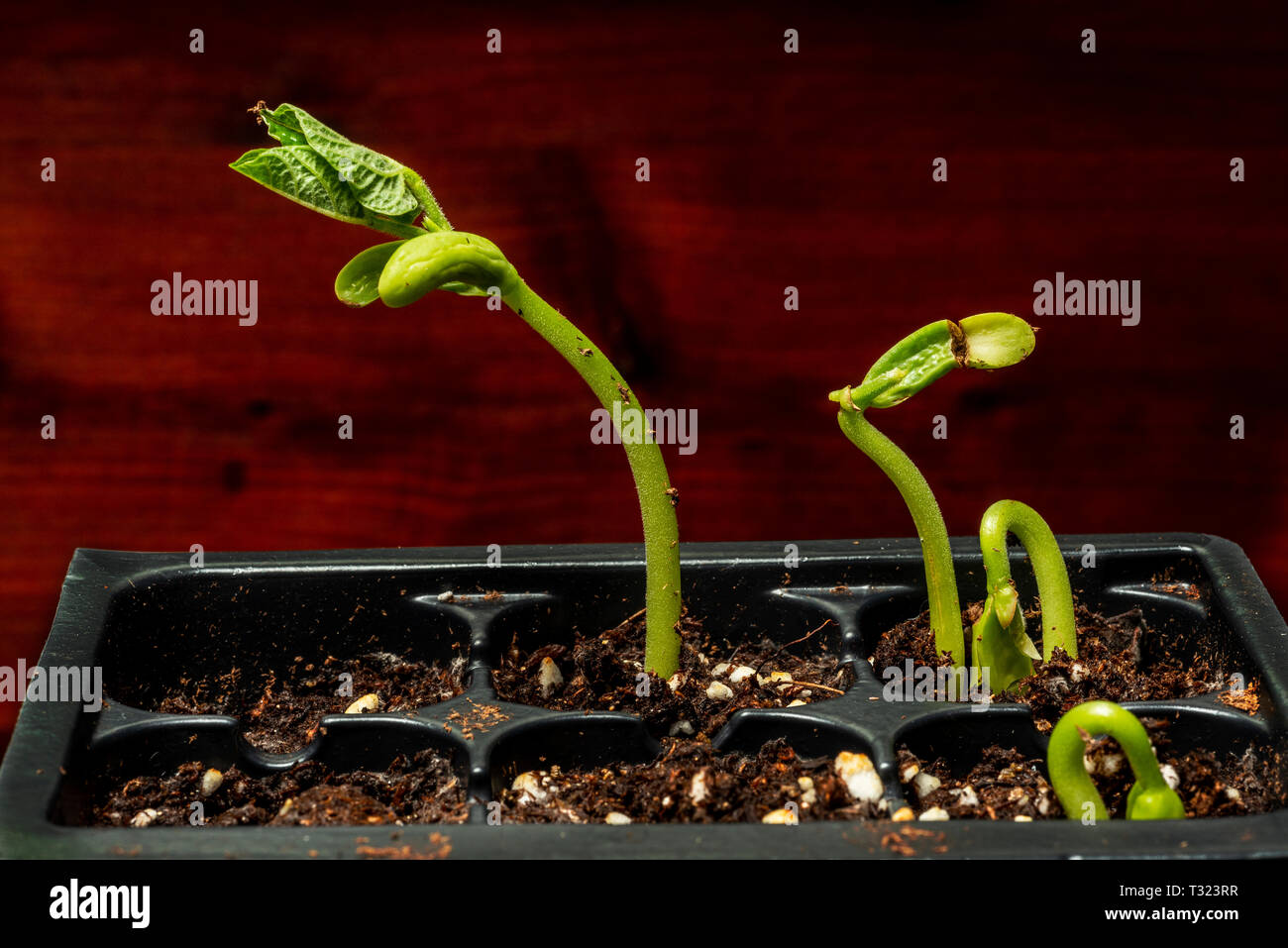Horizontal shot of bean sprouts in a plastic tray getting ready for spring. - Stock Image