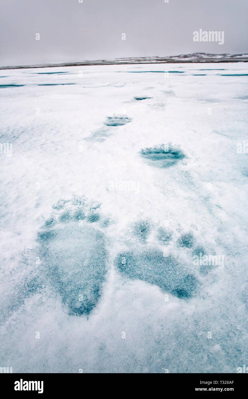 Footprint of Polar Bear, Ursus maritimus, Spitsbergen, Arctic Ocean, Norway - Stock Image