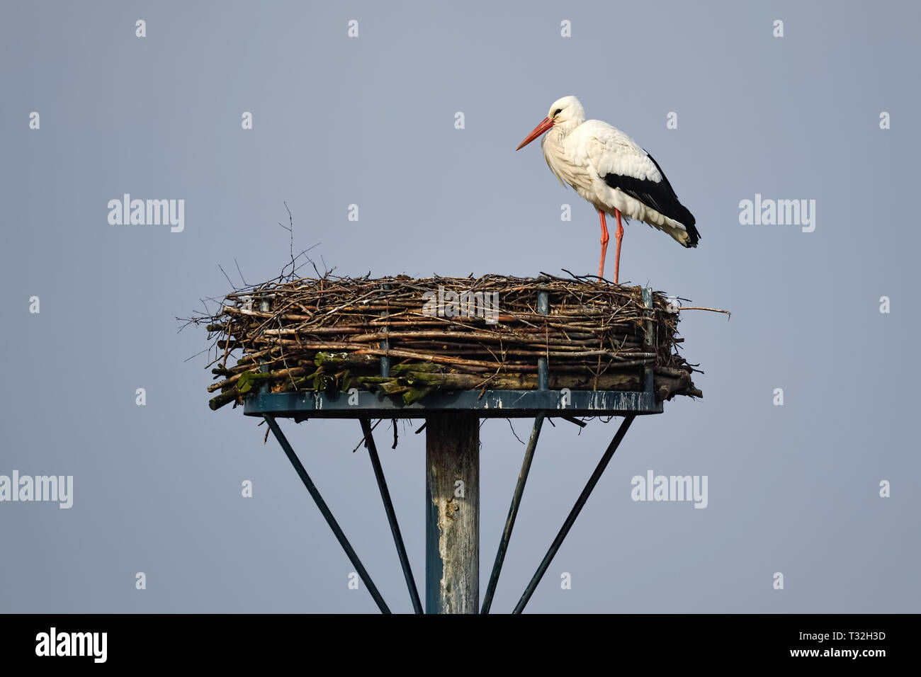 The first repatriate from the winter quarters in February: White stork (Ciconia ciconia) Rudi on his nest in Kirchwerder, Hamburg, Germany, Erster Rüc Stock Photo