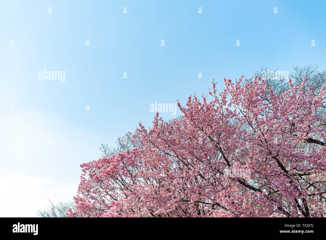 Cherry blossom (sakura) with birds under the blue sky in the Shinjuku Gyo-en Park in Tokyo of Japan. A good place for vocation in spring. Stock Photo