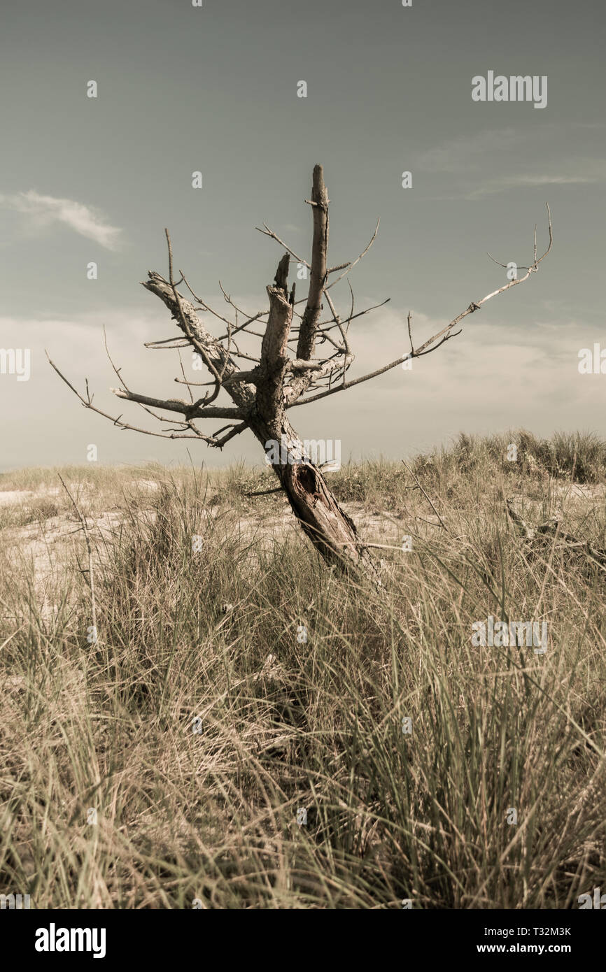 Dead leafless tree in a field of dry grass on a scorching hot day, Fire Island, NY - Stock Image