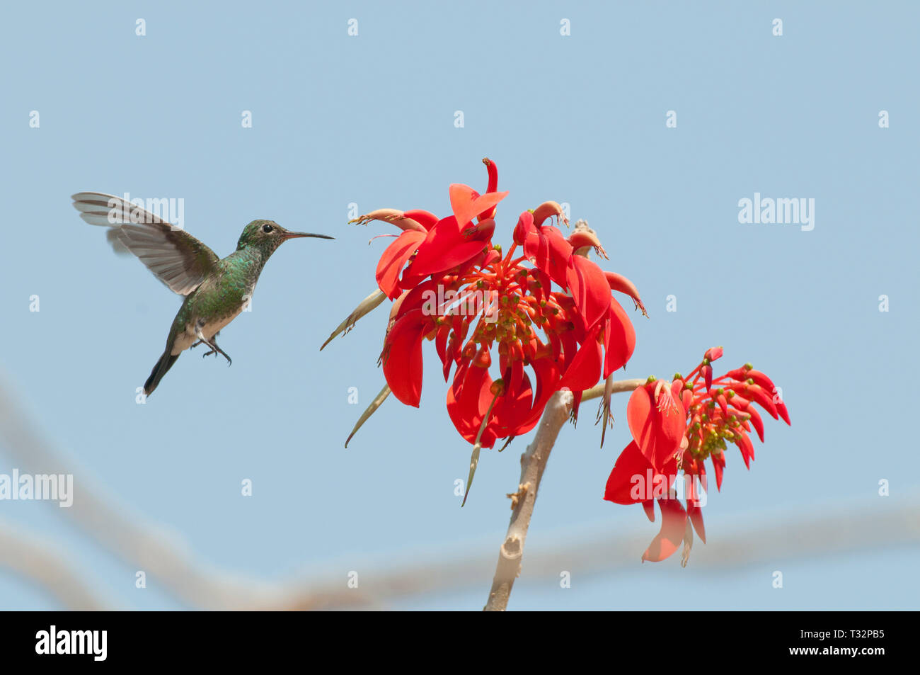 Glittering-throated emerald (Amazilia fimbriata) feeding from an unidentifies red flower - Stock Image
