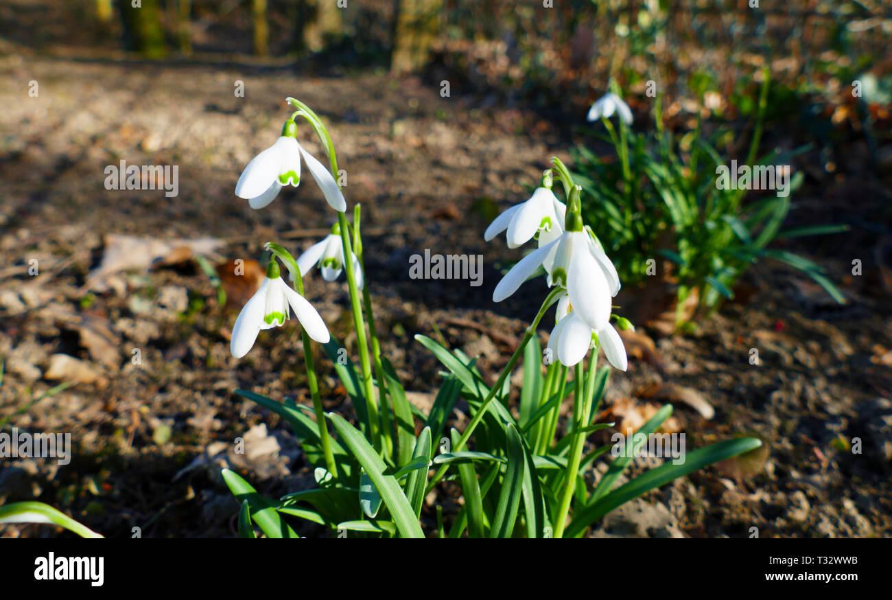 Zierliche, kleine Schneeglöckchen wachsen auf dem Waldboden, im Winter - Stock Image