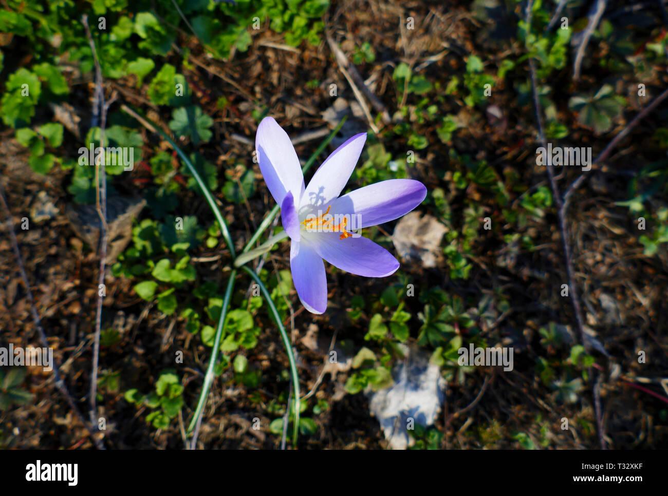 Lila, ultra violett farbene Krokusse, Blütenteppich auf einer Wiese - Stock Image