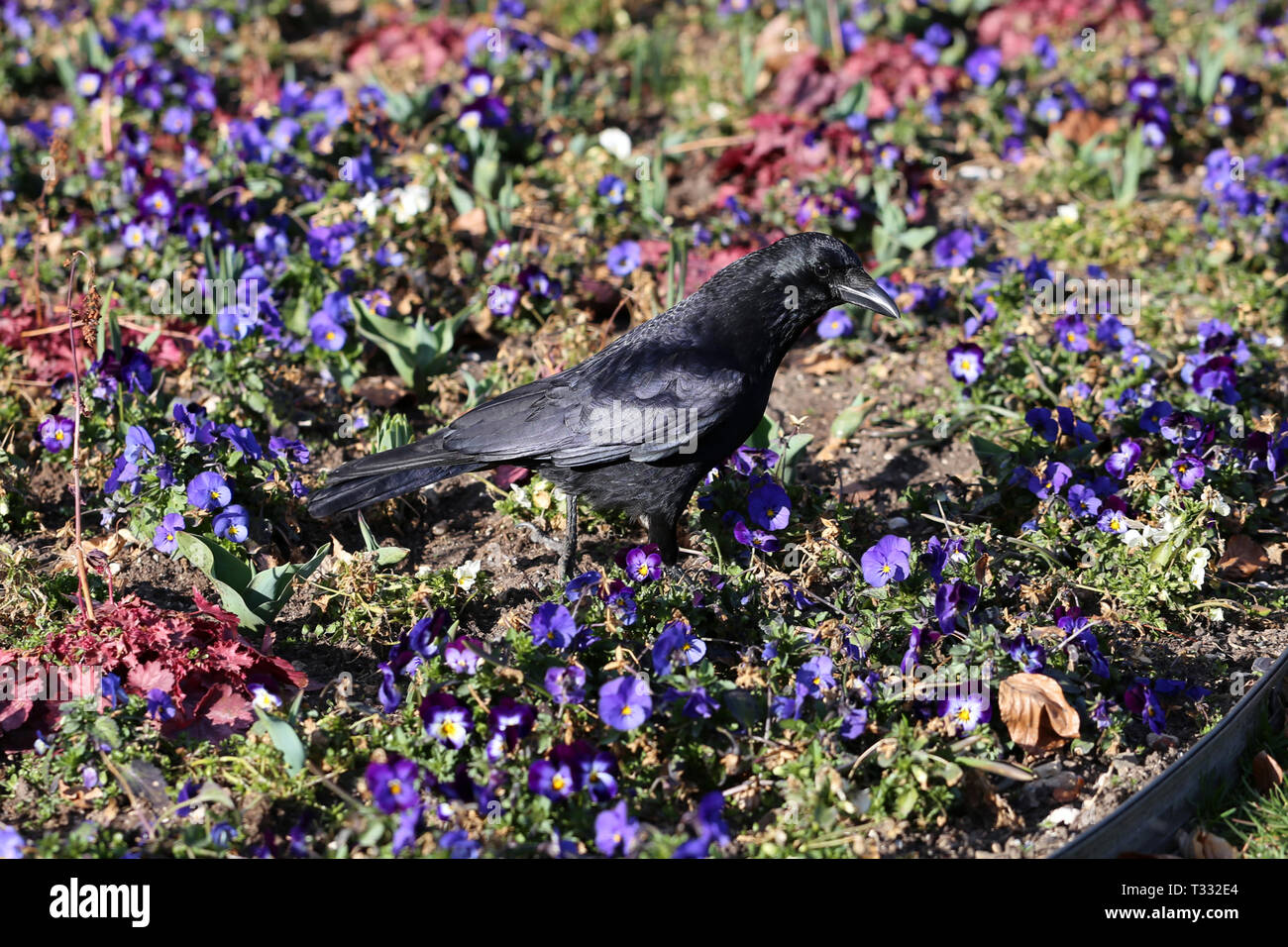 Black raven bird walking on a flower bed in Nyon, Switzerland. In the photo you see the bird, its shadow, plenty of colorful pansy flowers and grass. - Stock Image