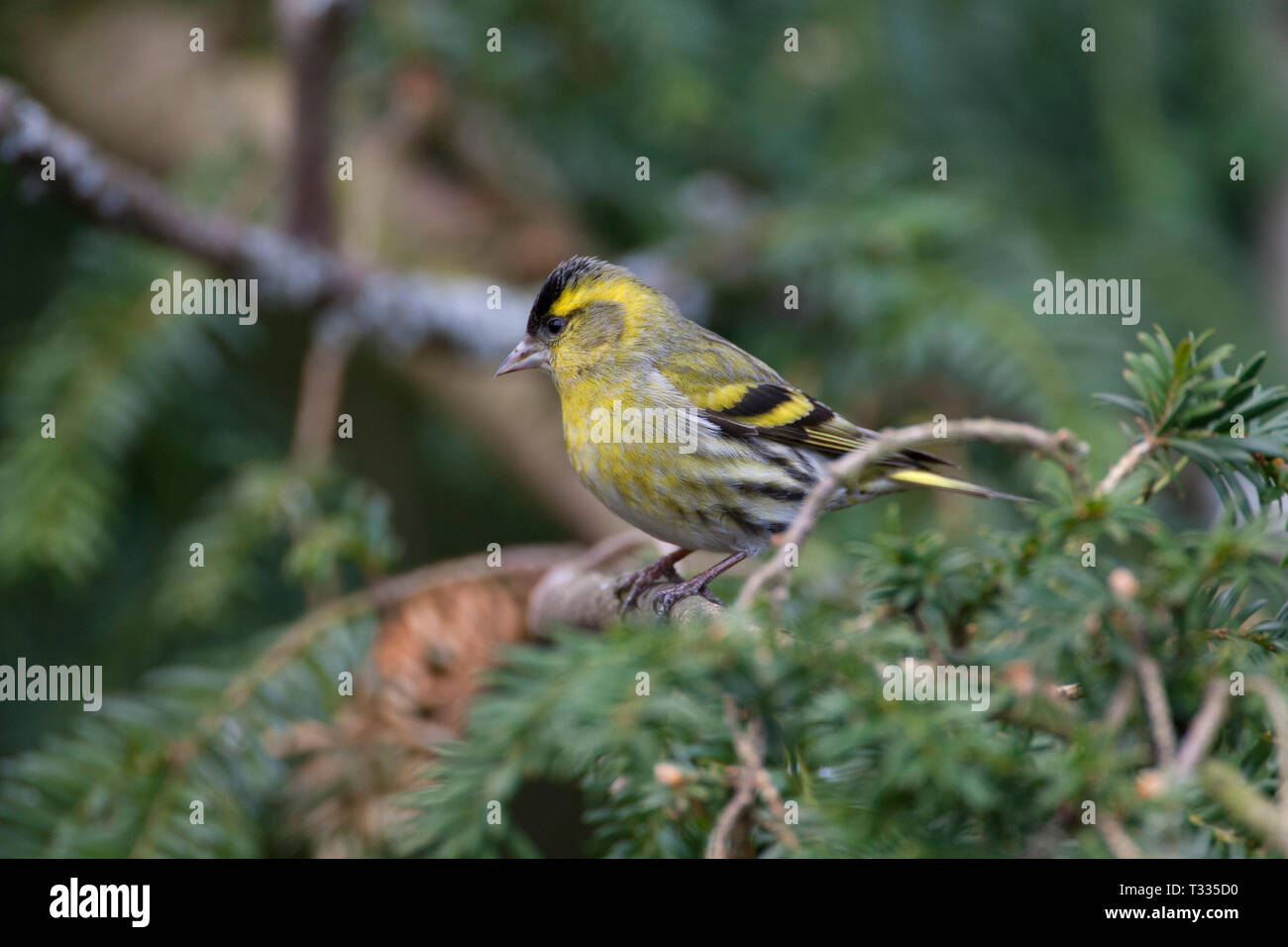 Siskin, Carduelis spinus, single adult male perched on conifer tree. Taken March. Arundel, West Sussex, UK. - Stock Image