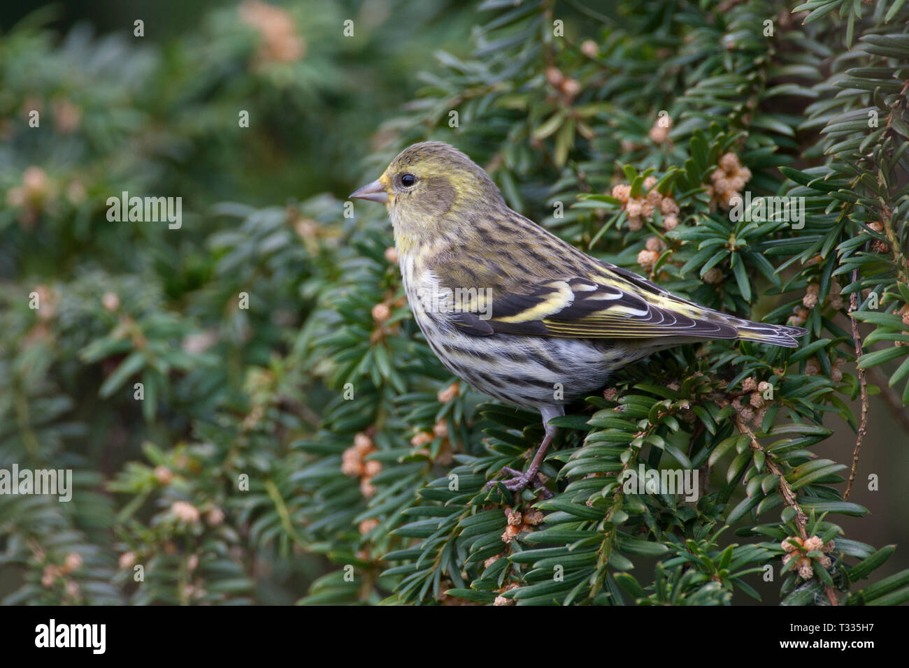 Siskin, Carduelis spinus, single adult female perched on conifer tree. Taken March. Arundel, West Sussex, UK. - Stock Image
