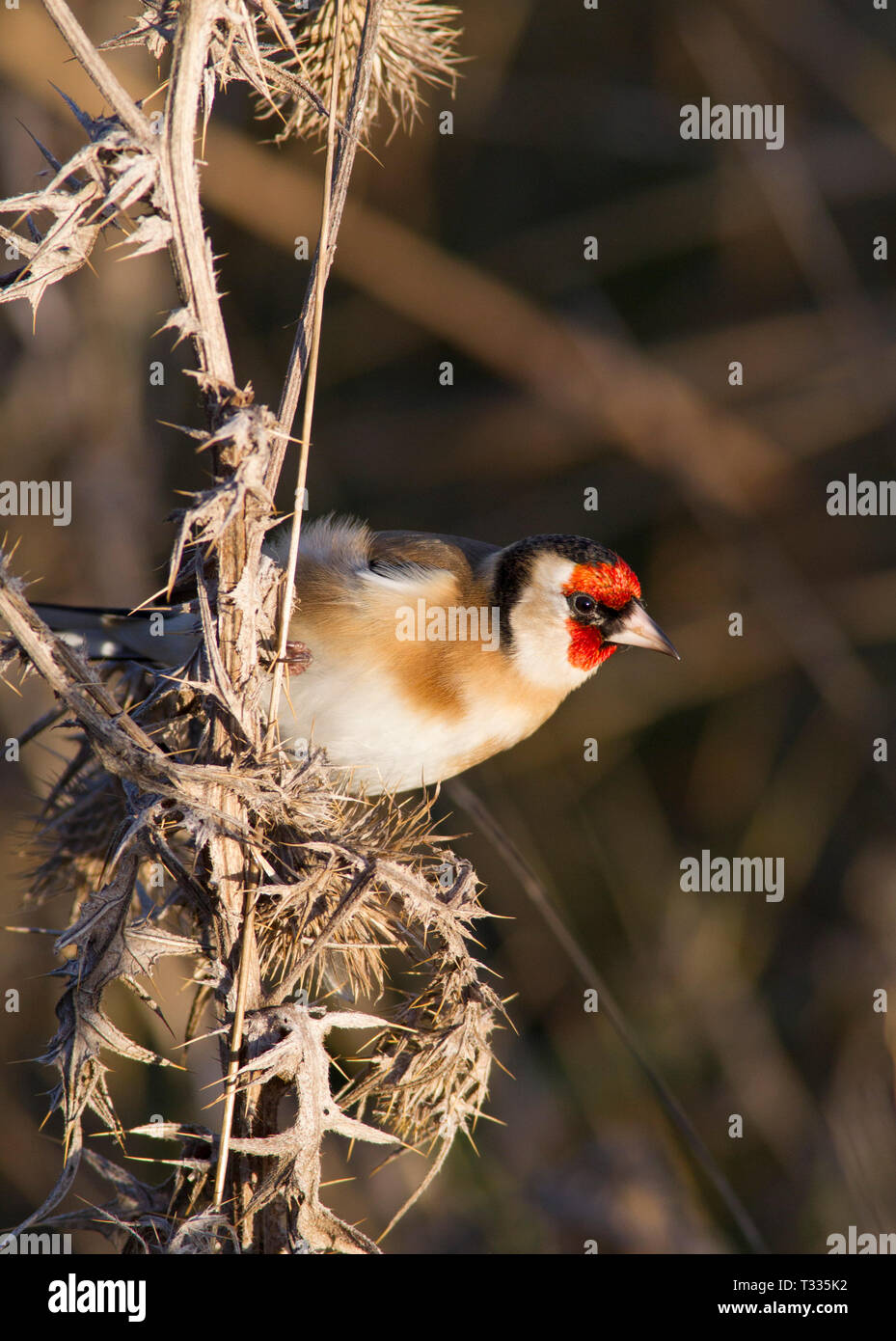 Goldfinch, Carduelis carduelis, single adult perched on thistles.  Taken December. Titchwell, Norfolk, UK. - Stock Image