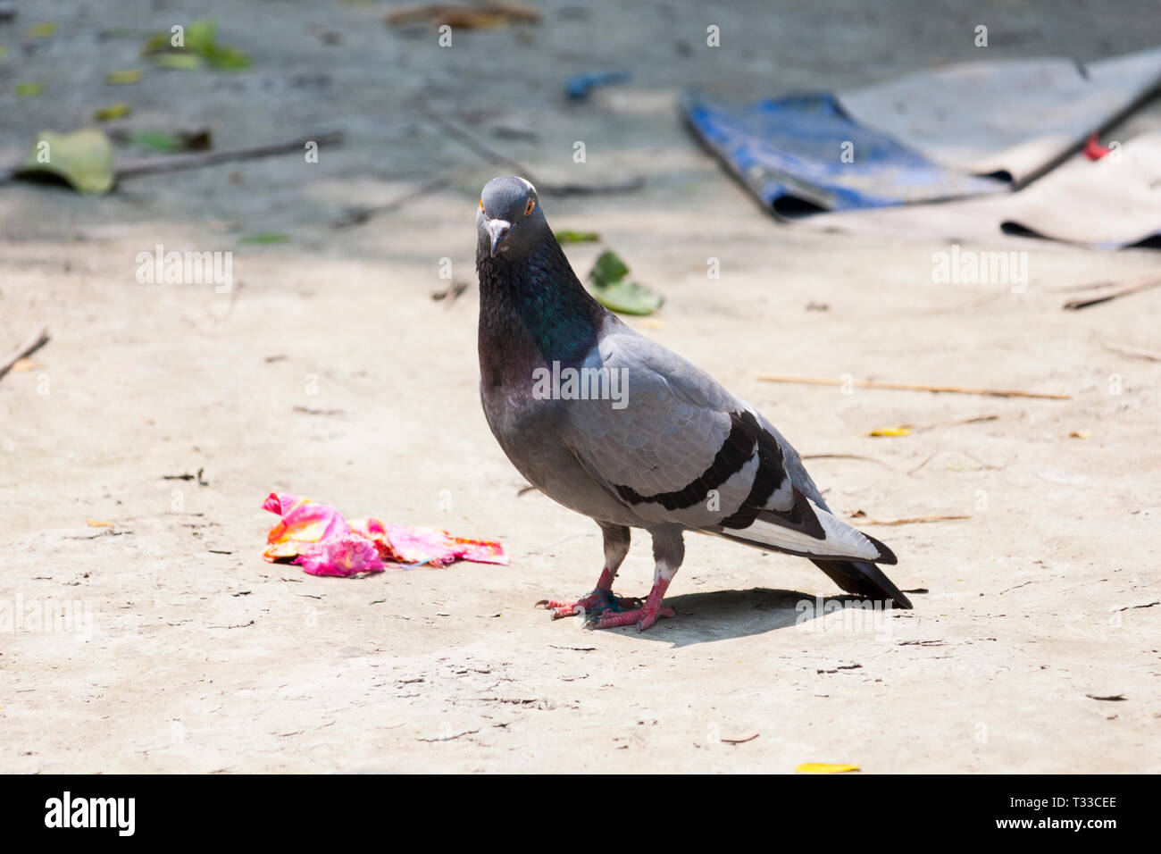 Pets pigeon on the ground - Stock Image