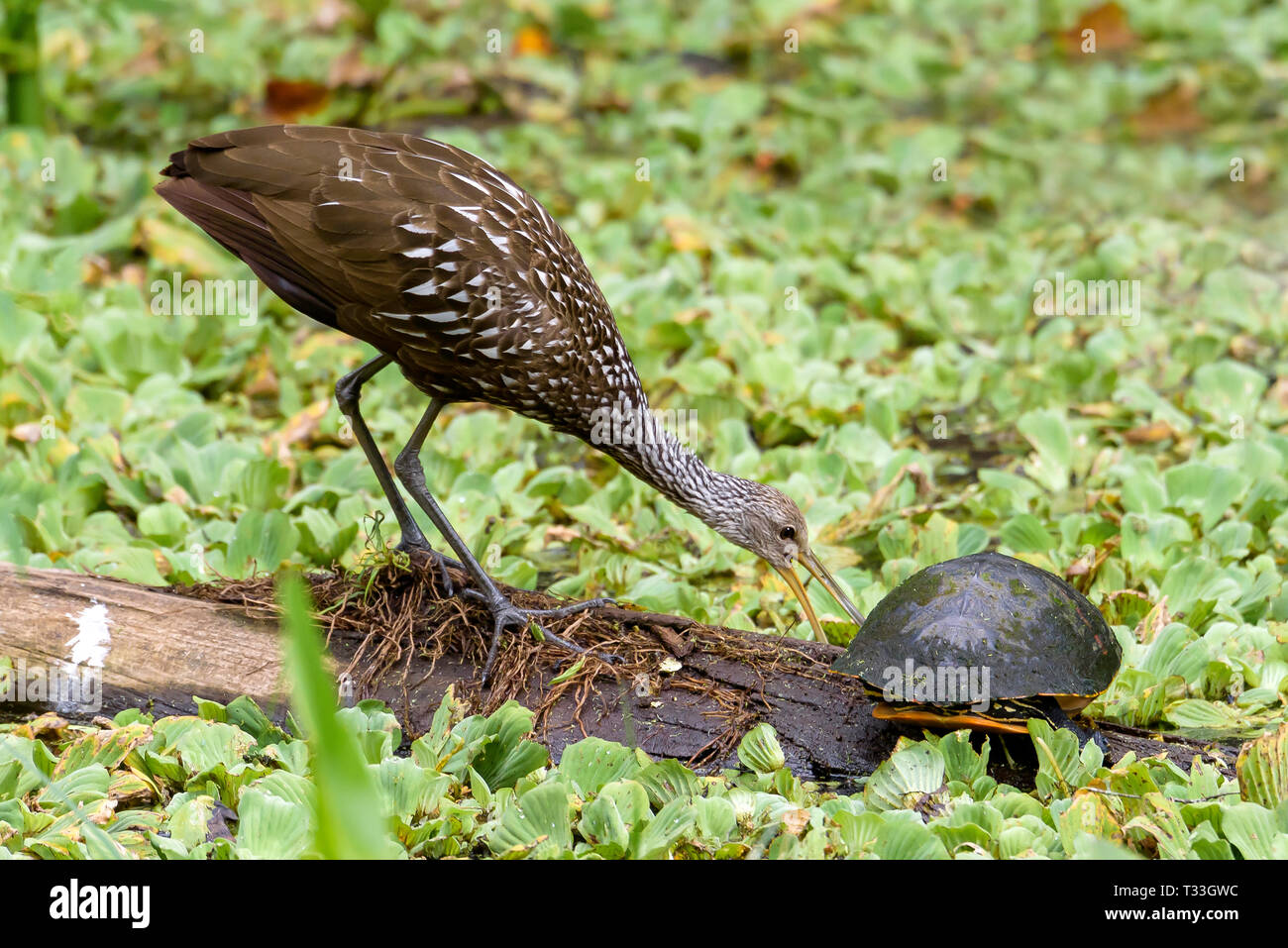 A limpkin (Aramus guarauna) and a Florida red-bellied cooter (Pseudemys nelsoni) on a log surrounded by water cabbage in Corkscrew Swamp Sanctuary, Fl Stock Photo