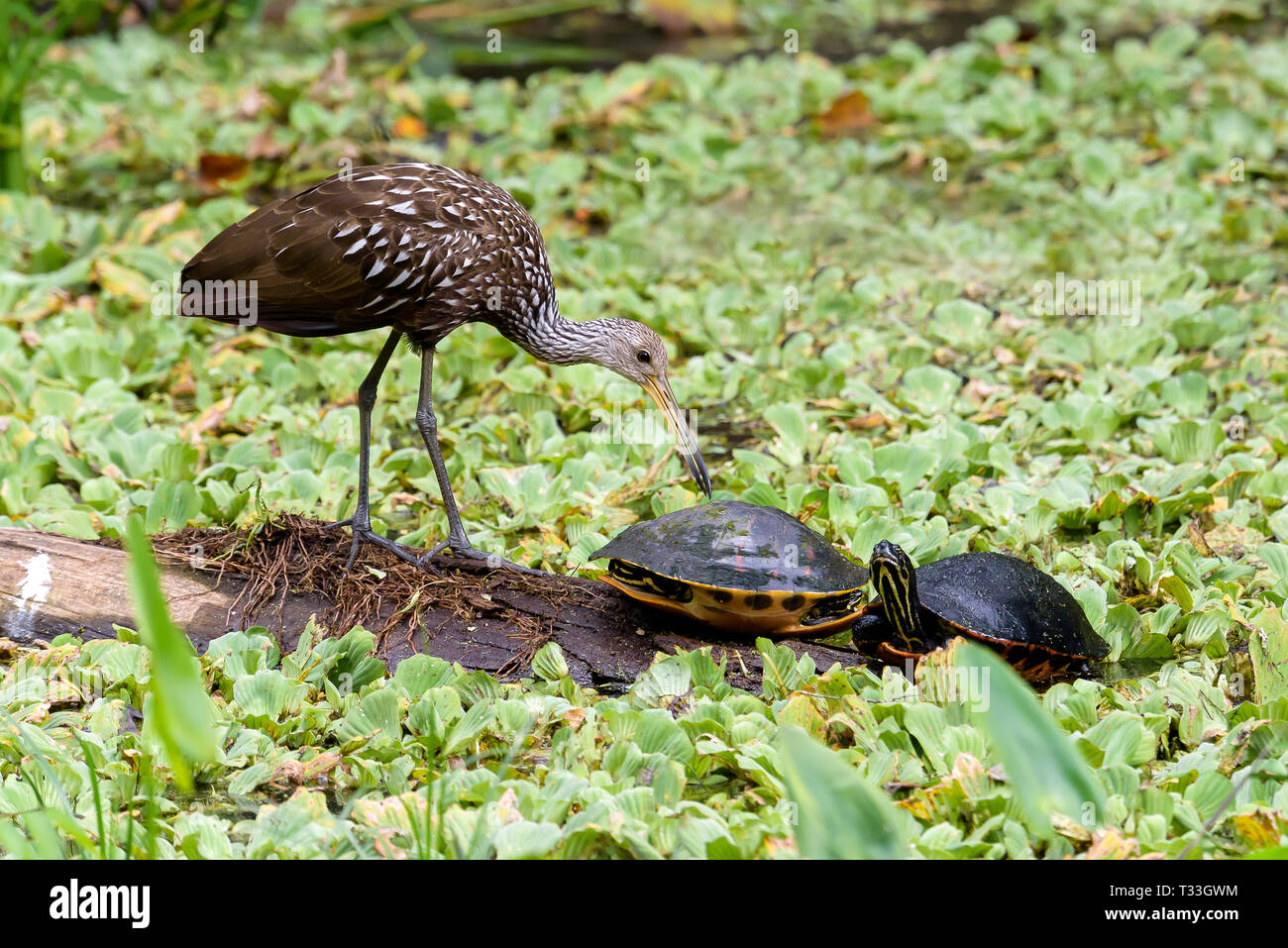 A limpkin (Aramus guarauna) and Florida red-bellied cooters (Pseudemys nelsoni) on a log surrounded by water cabbage in Corkscrew Swamp Sanctuary, Flo Stock Photo