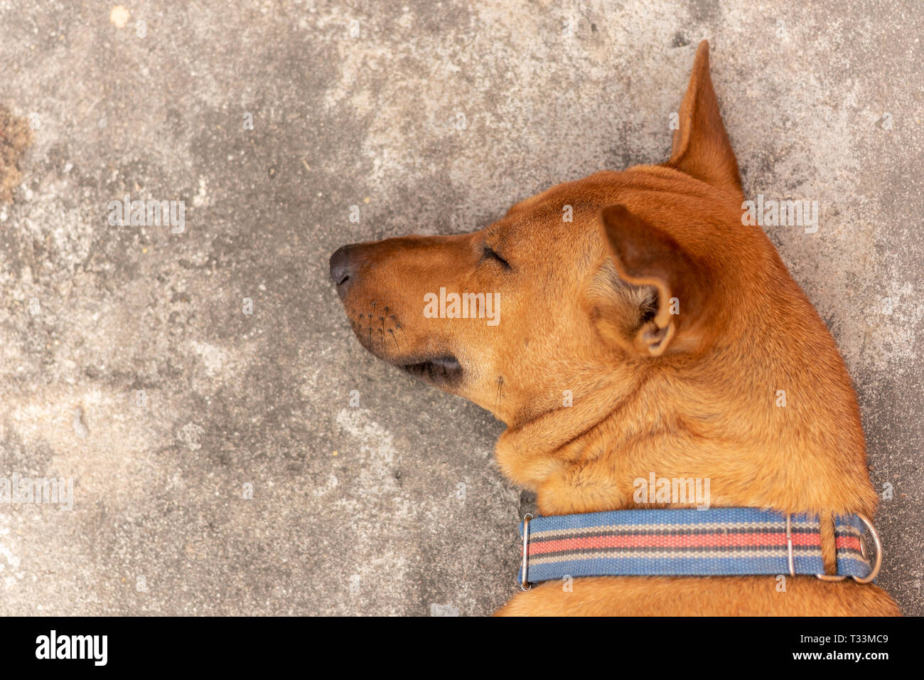 Brown dogs are sleeping on the floor. - Stock Image