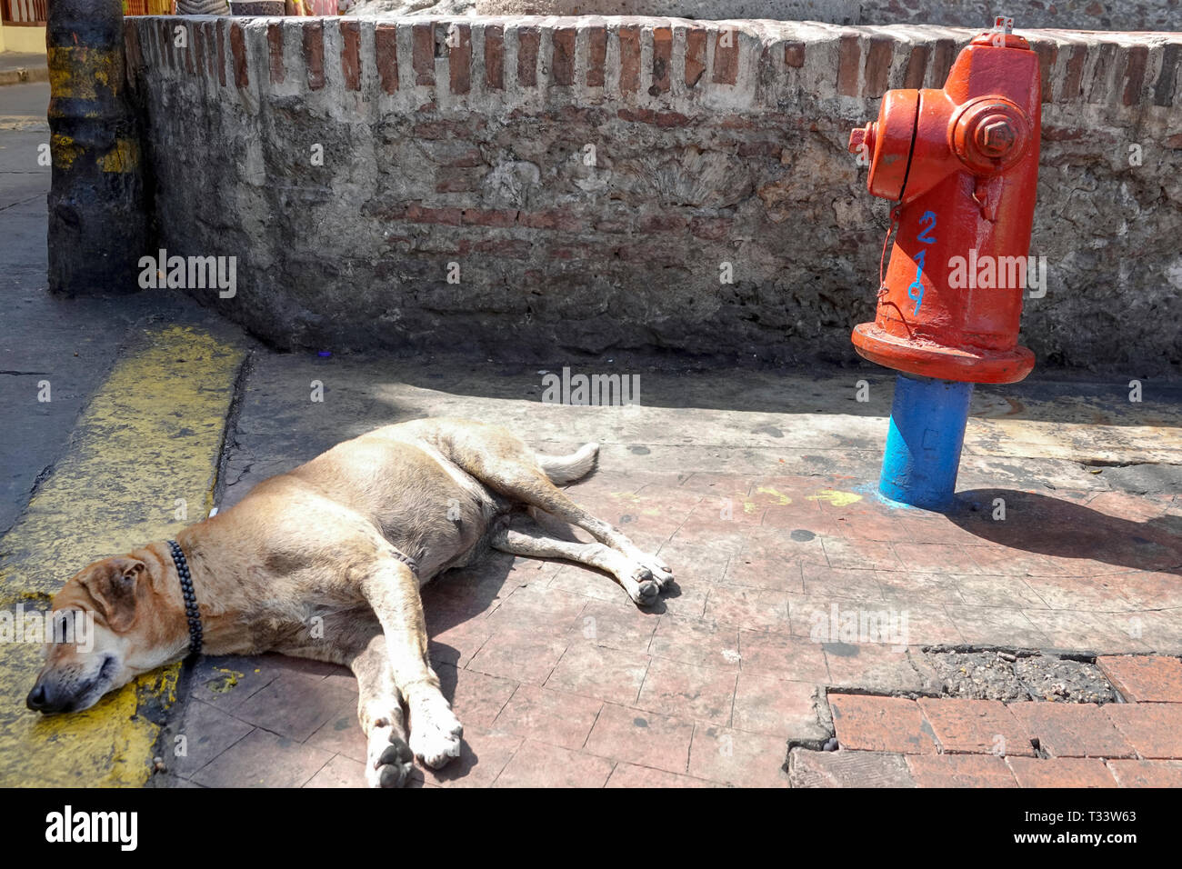 Cartagena Colombia Old Walled City Center centre Getsemani dog sleeping by fire hydrant - Stock Image
