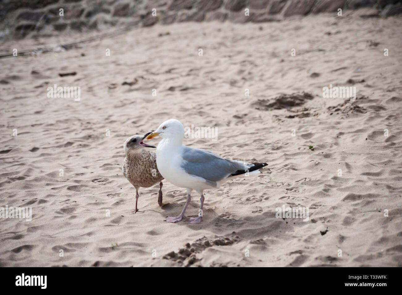Juvenile herring gull  pestering mother on Stonehaven beach. - Stock Image