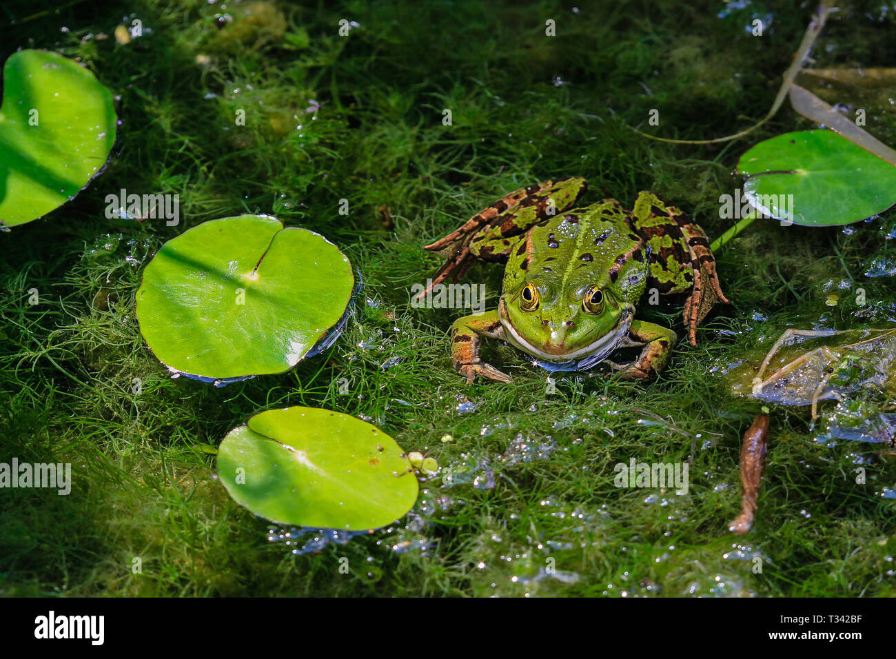 common water frog between algae and water lillies - Stock Image