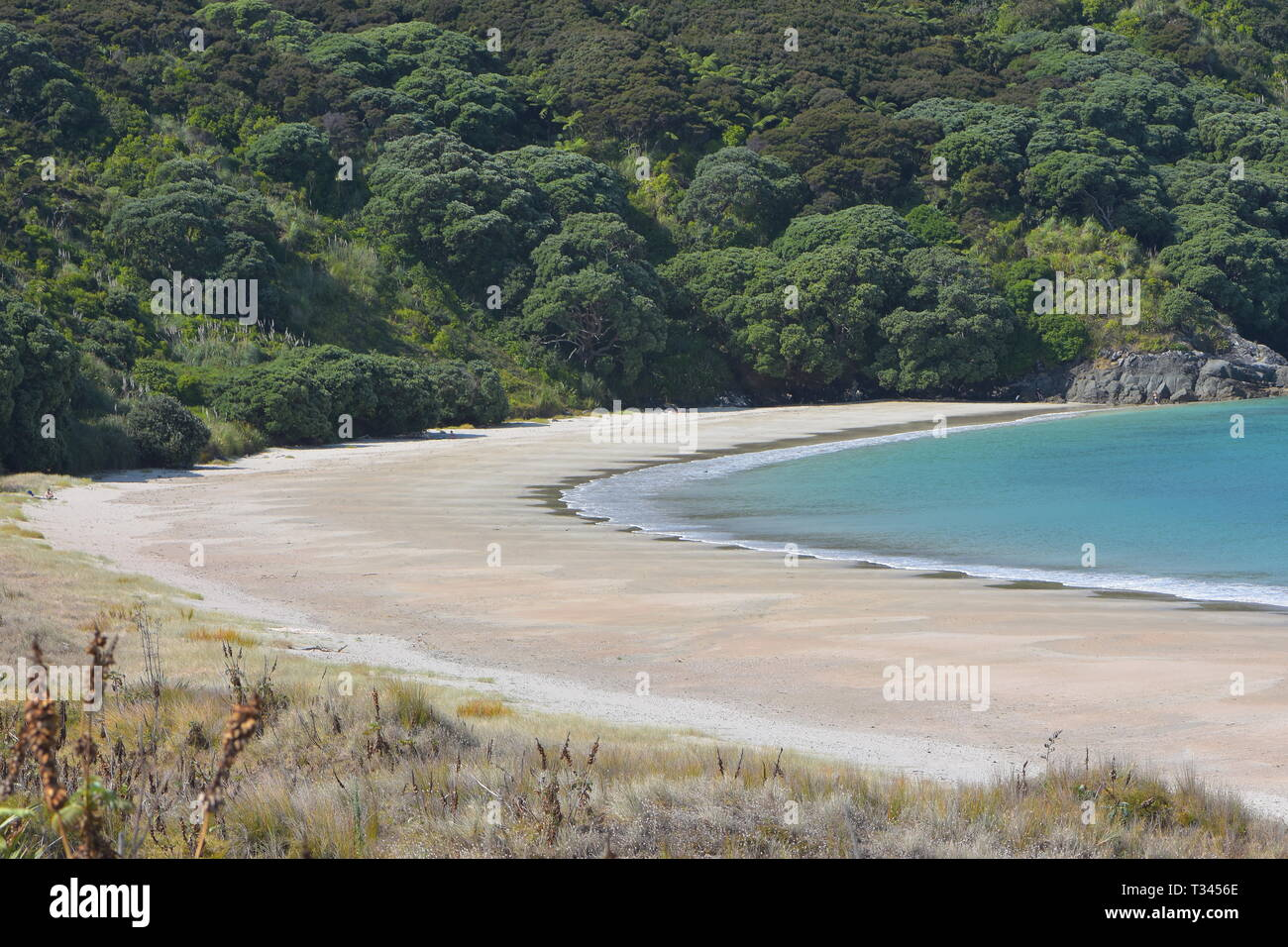 Empty pacific bay with flat sandy beach and flat water and native bush in background. - Stock Image
