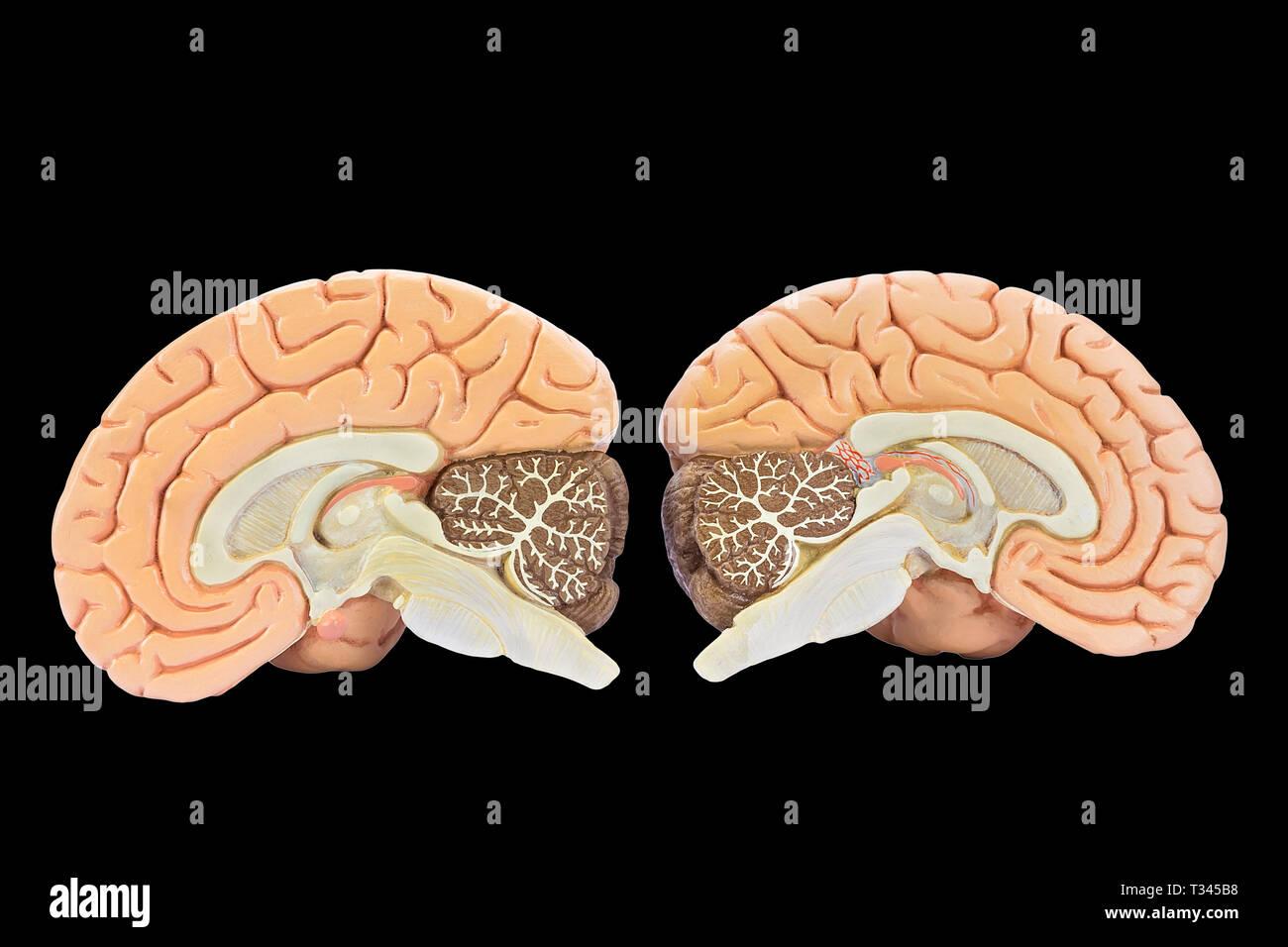Educational models of two brain hemispheres isolated on black background - Stock Image