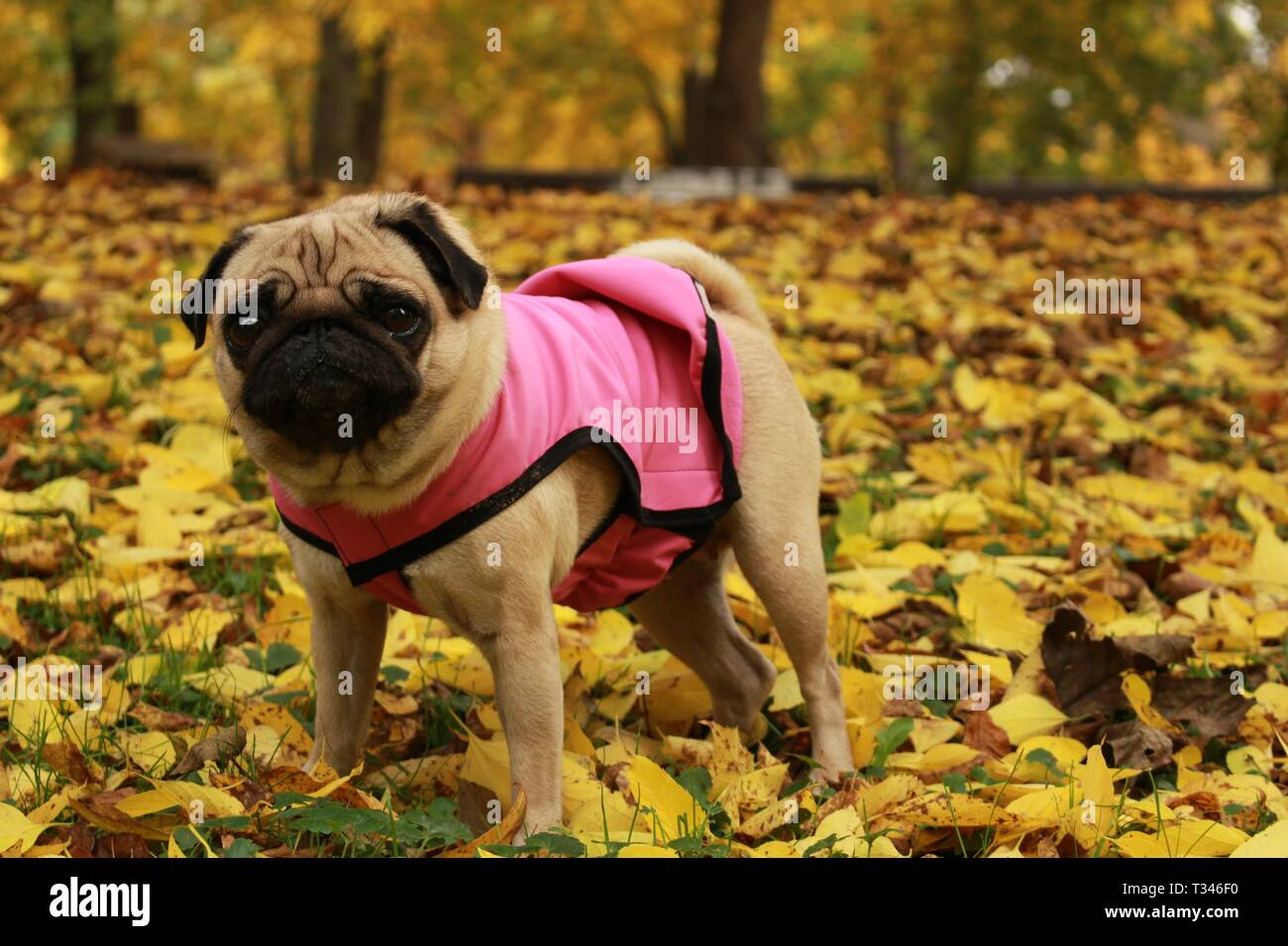 Little female pug posing in dog pink coat in colorful autumn leaves - Stock Image