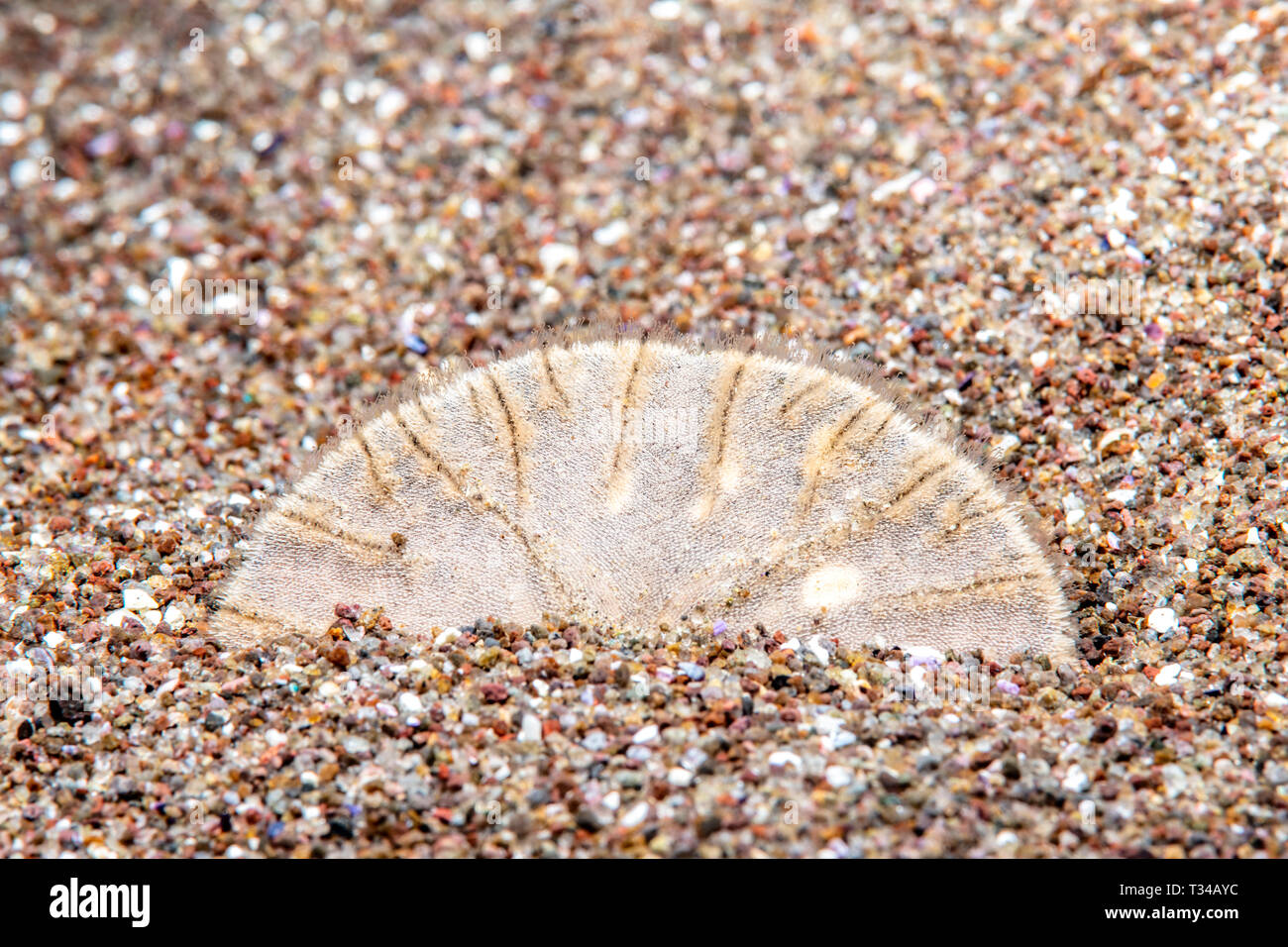 A sand dollar sits wedged into the sandy bottom while feeding with its tiny tentacles - Stock Image