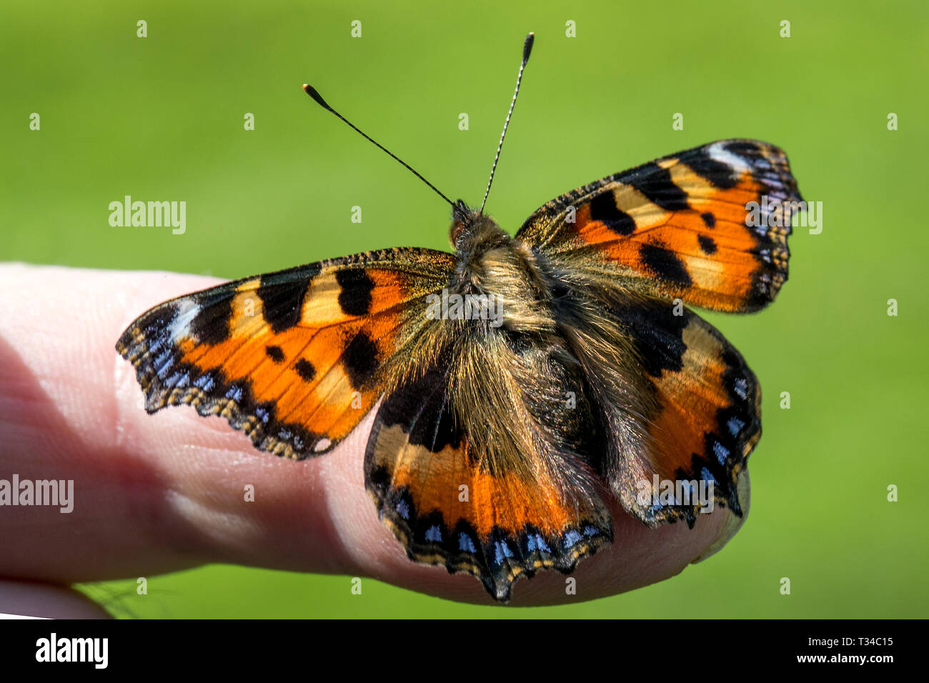 A small tortoiseshell butterfly freshly emerged from it's chrysalis, stretching  it's wings to dry them before first flight. Release available. - Stock Image