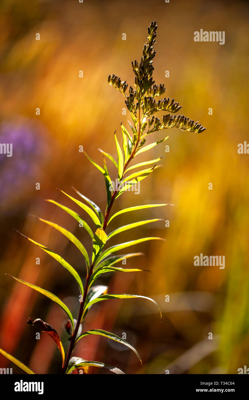 A Golden Rod seed head back-lit by low sunlight - Stock Image