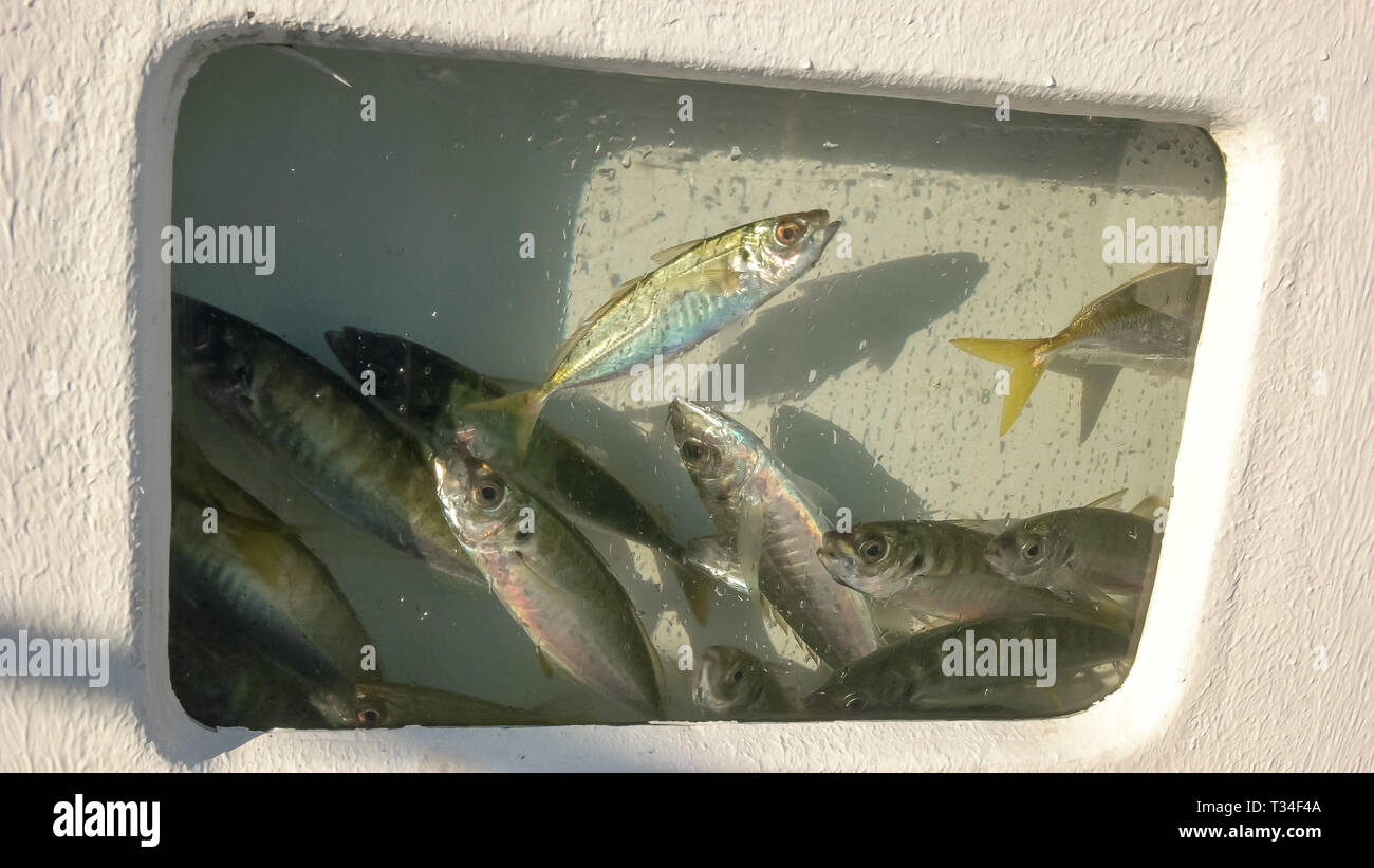 yellow tail for live bait in livewell - Stock Image