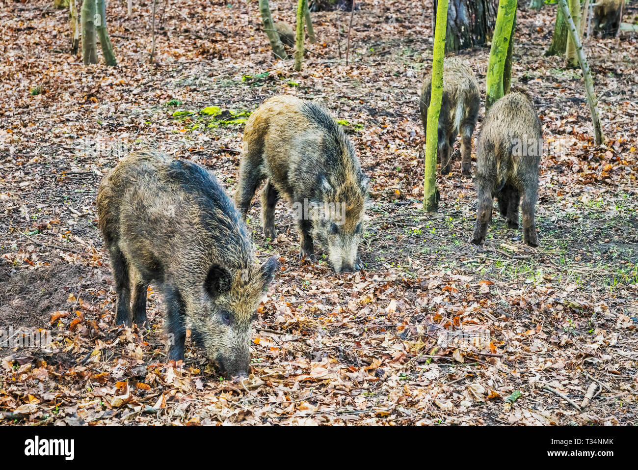 Four wild boars in the forest of Kolobrzeg, West Pomeranian; Poland; Europe - Stock Image