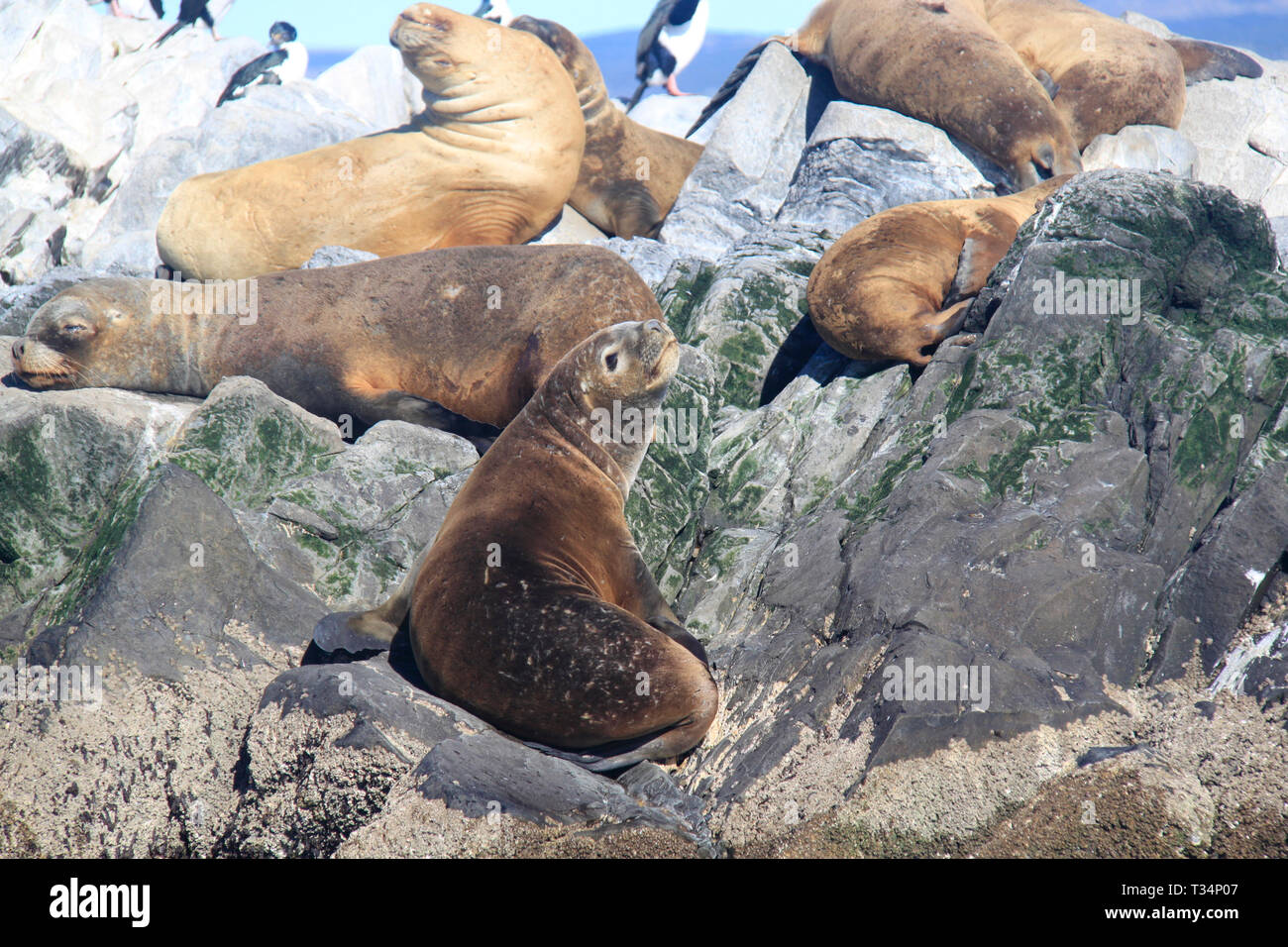 Group of southern sea lions (Otaria flavescens) lying on rocks, Tierra del Fuego islands, Argentina Stock Photo