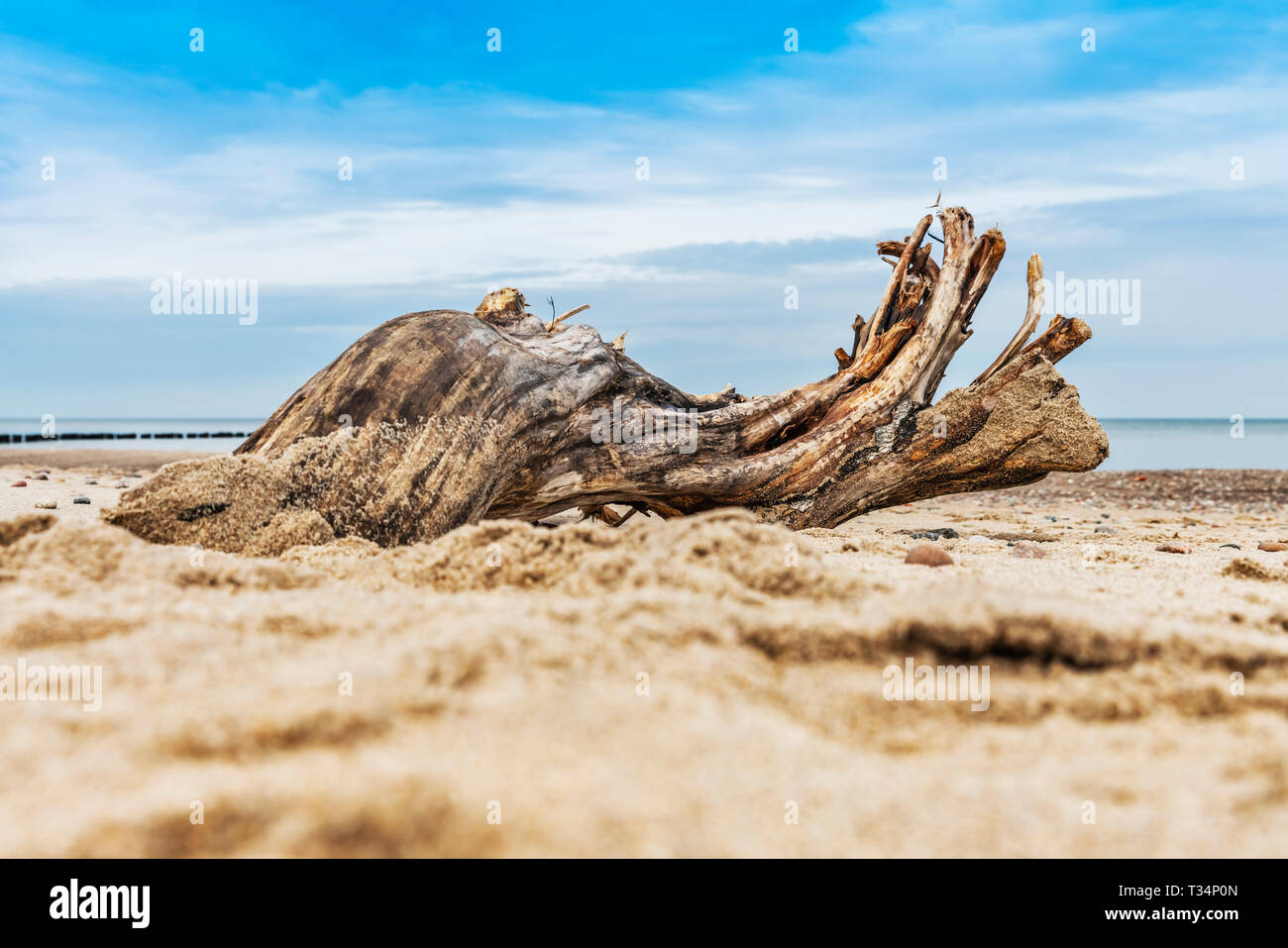 A tree root lies on the beach of the Baltic Sea, Kolobrzeg, West Pomeranian, Poland, Europe - Stock Image
