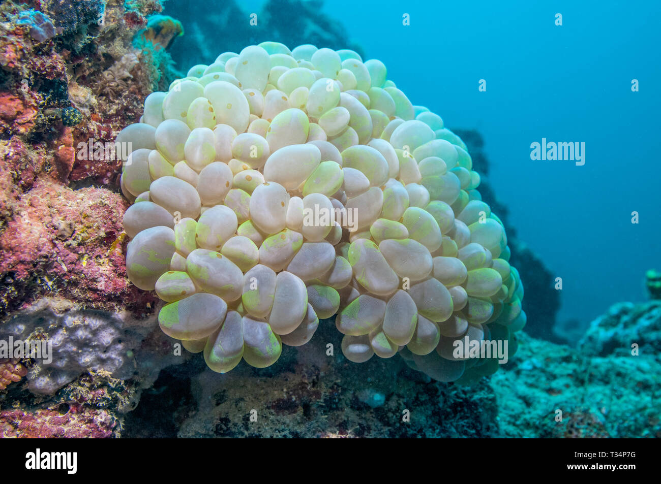 Bubble coral [Plerogyra sinuosa]. Large polyp stony coral or large polyp scleractinian, LPS.  Mabul, Malaysia.  Indo-West Pacific. - Stock Image