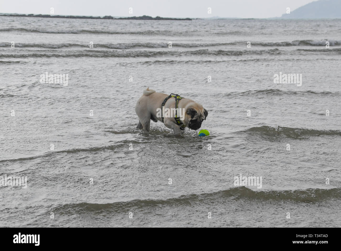 Longrock, Cornwall, UK. 6th Apr, 2019. UK Weather. Titan the Pug pup making the most of the sunny weather, playing in the sea at lunchtime. Credit: Simon Maycock/Alamy Live News Stock Photo