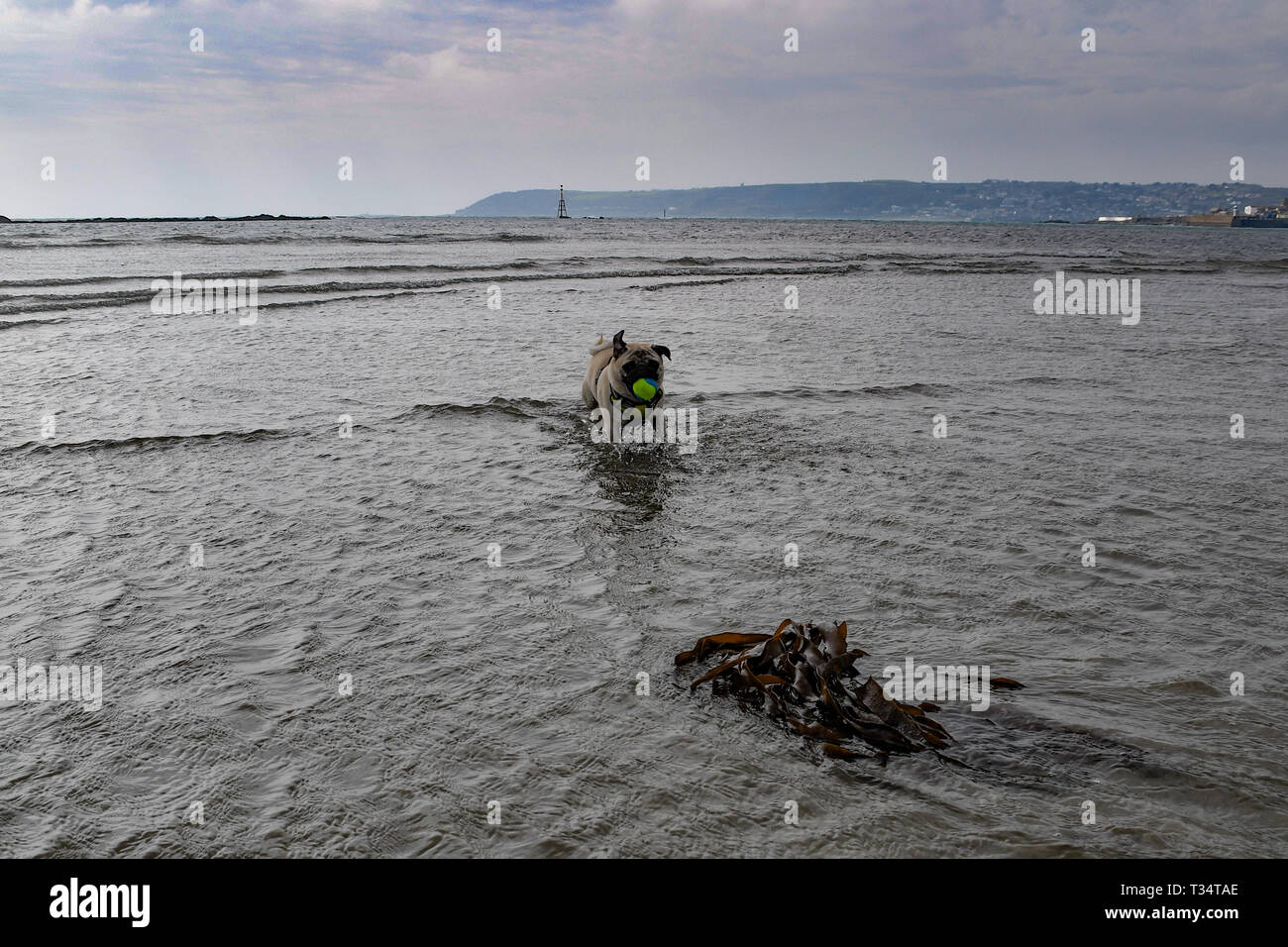 Pug dog running with tennis ball in mouth on the beach in Cornwall - Stock Image