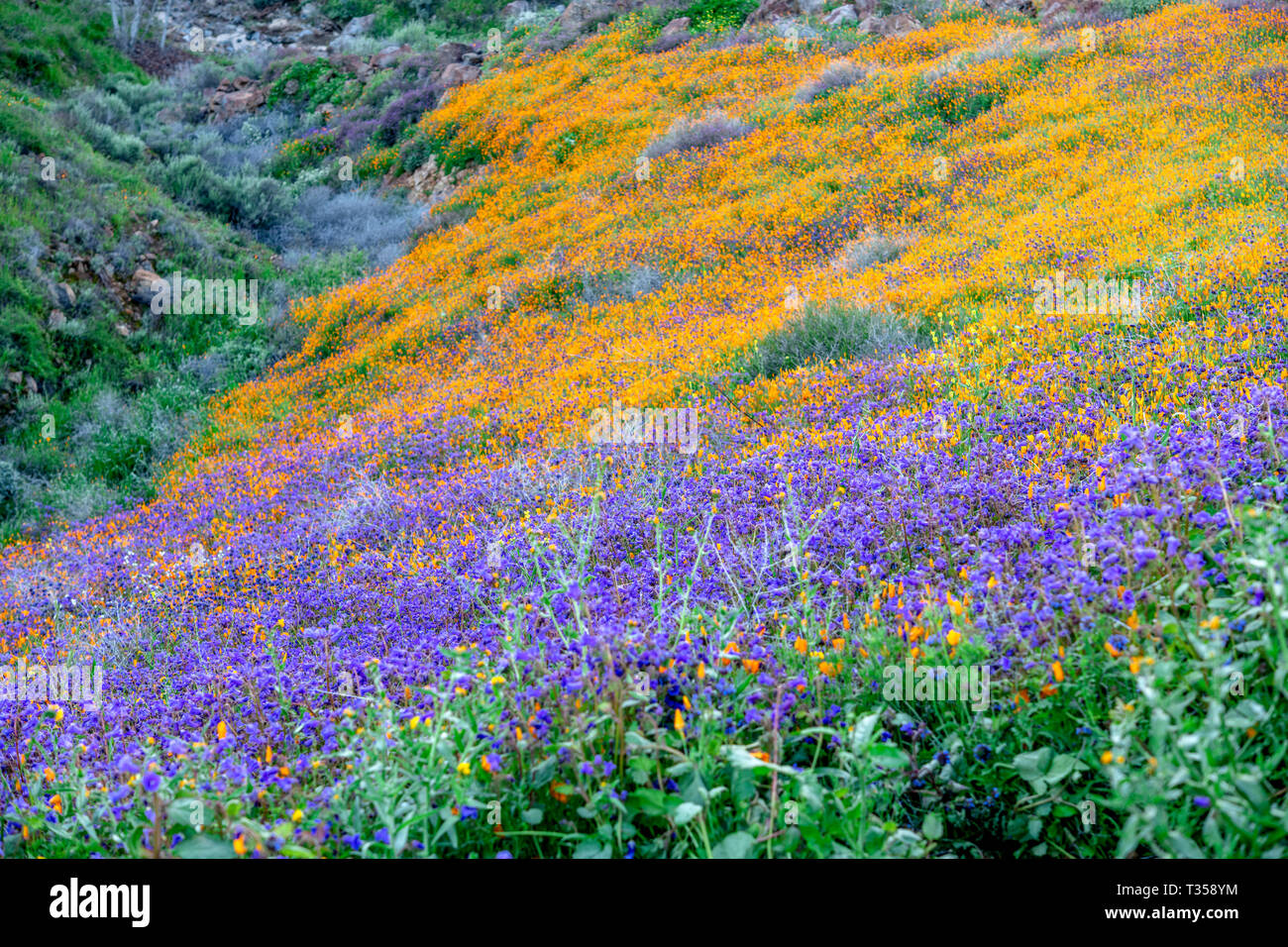 Vibrant poppies blooming on a hillside in Lake Elsinore bounce to the gentle breeze during a bright day. - Stock Image