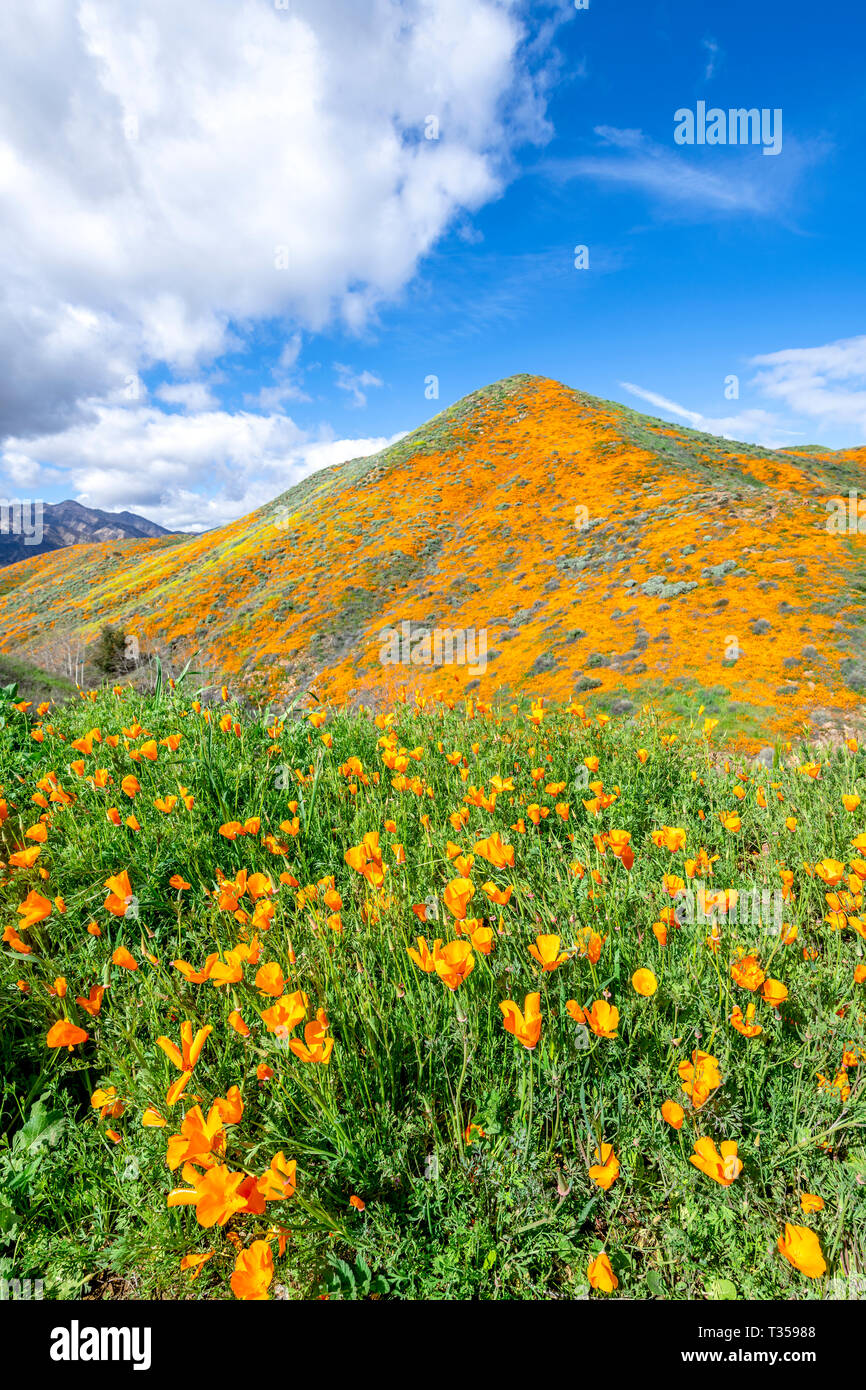 Vibrant orange poppies mixed with purple flowers blooming on a hillside in Lake Elsinore bounce to the gentle breeze during a bright day. - Stock Image