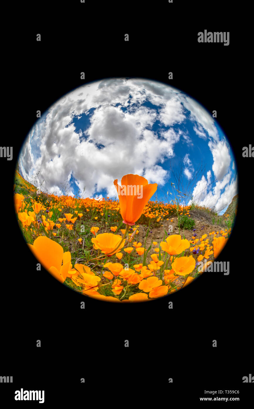 Unique circular fisheye perspective of vibrant orange poppies blooming on a hillside in Lake Elsinore during a bright day. - Stock Image