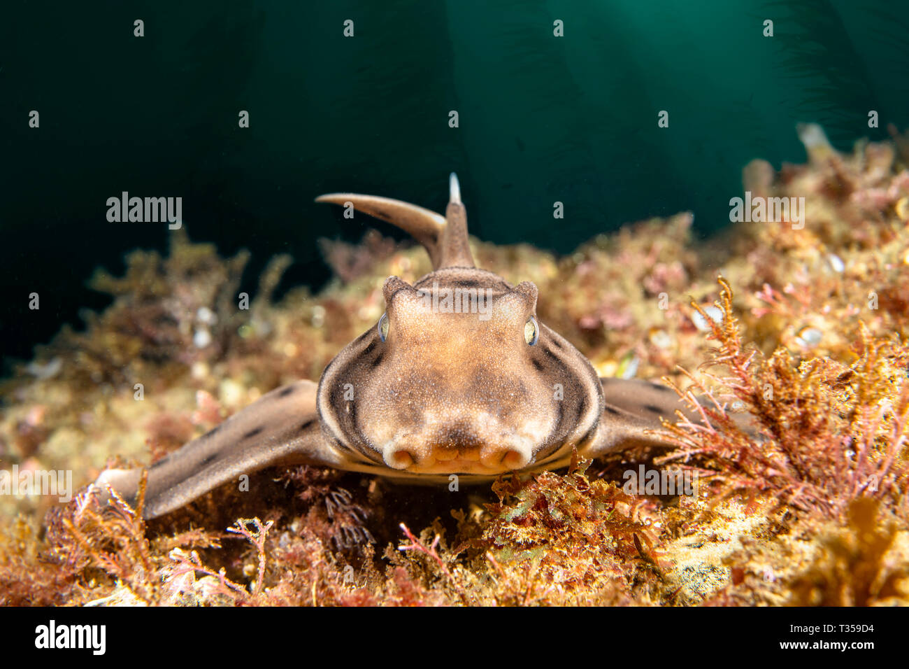 A horn shark on a reef in a California kelp bed rests as it stares into my camera - Stock Image