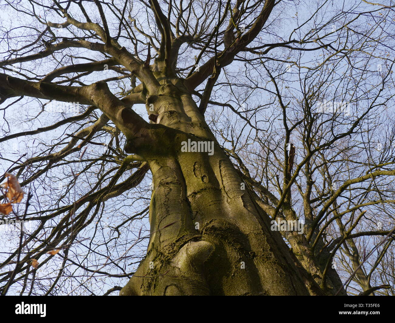 Low angle view of tree top of old horse chestnut tree [Aesculus hippocastanum] - Stock Image