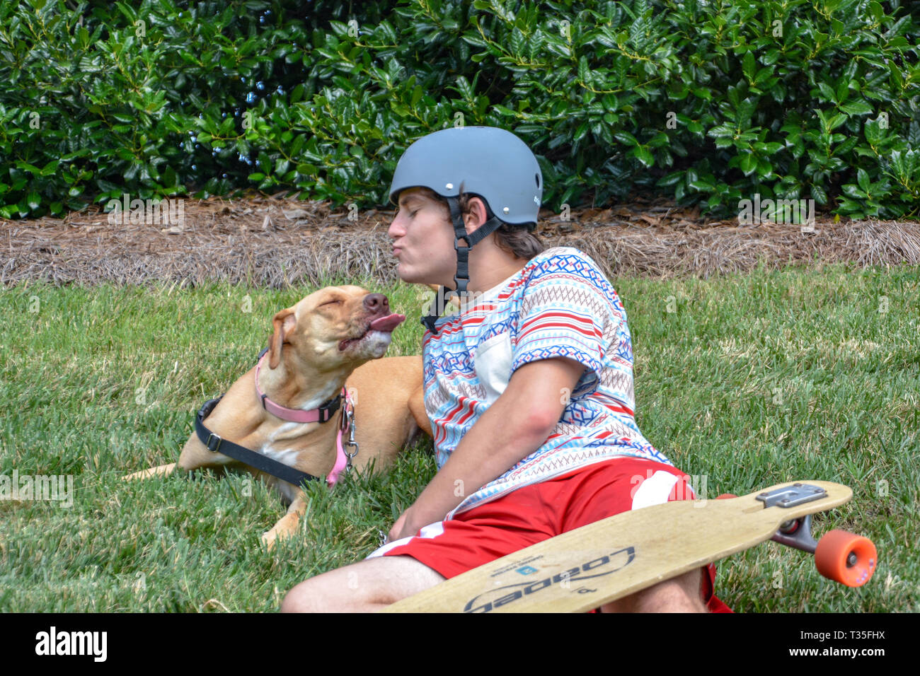 A pit bull loves pulling his teenage owner on his skateboard down the street. They do it a time or two and then play in the grass to rest. Stock Photo