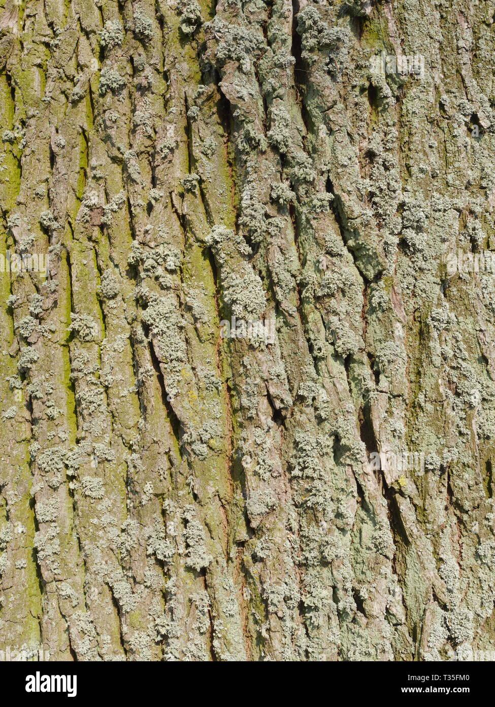 Tree bark (horse chestnut tree [Aesculus hippocastanum]) - Stock Image