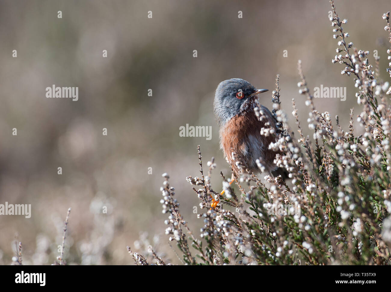 Dartford Warbler, Dunwich Heath, Suffolk - Stock Image