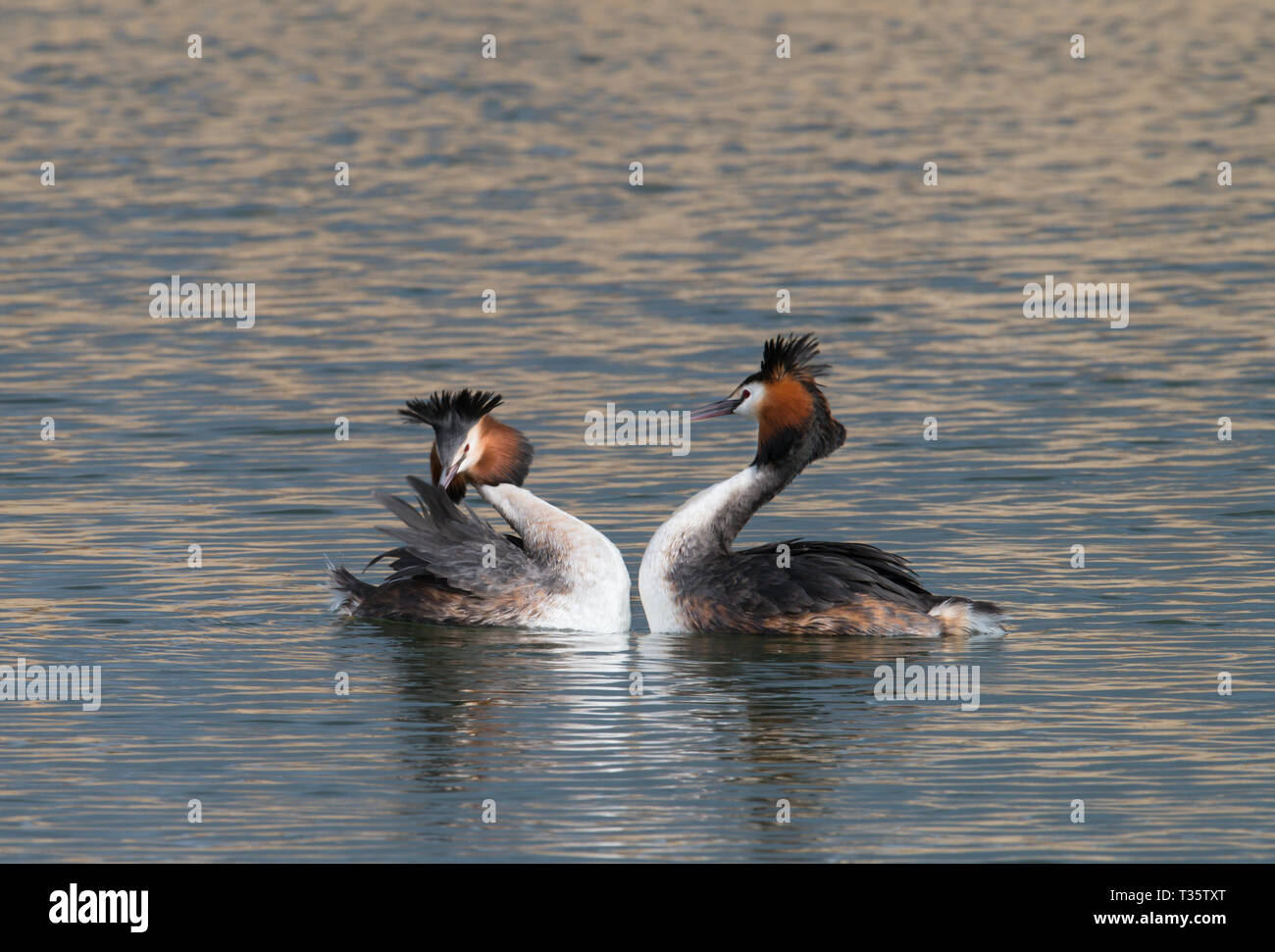 Great Crested Grebe courting, Rutland Water, Rutland Stock Photo