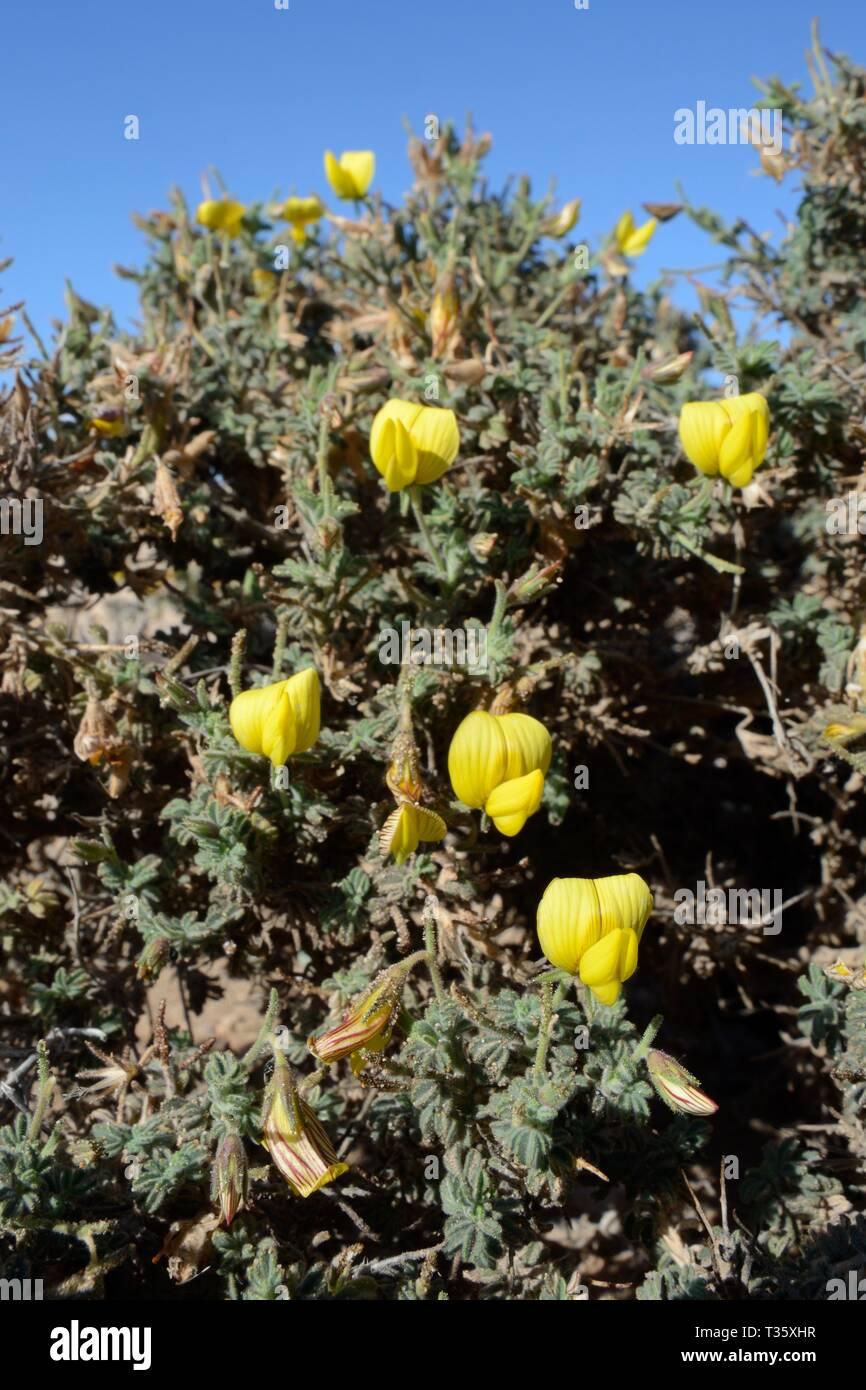Yellow restharrow (Ononis hesperia / Onis natrix hesperia) flowering on a coastal headland, Lanzarote, Canary Islands, February. Stock Photo