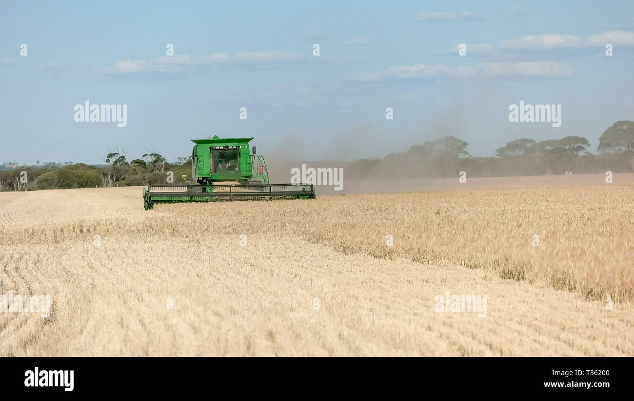 a front on view of a header being used on a grain farm to harvest ripe barley - Stock Image