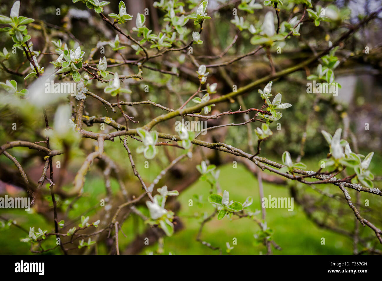 Die Quitte in ihrer Blüte; quince is flowering - Stock Image