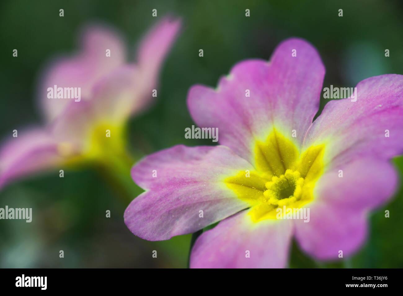 primrose - Stock Image