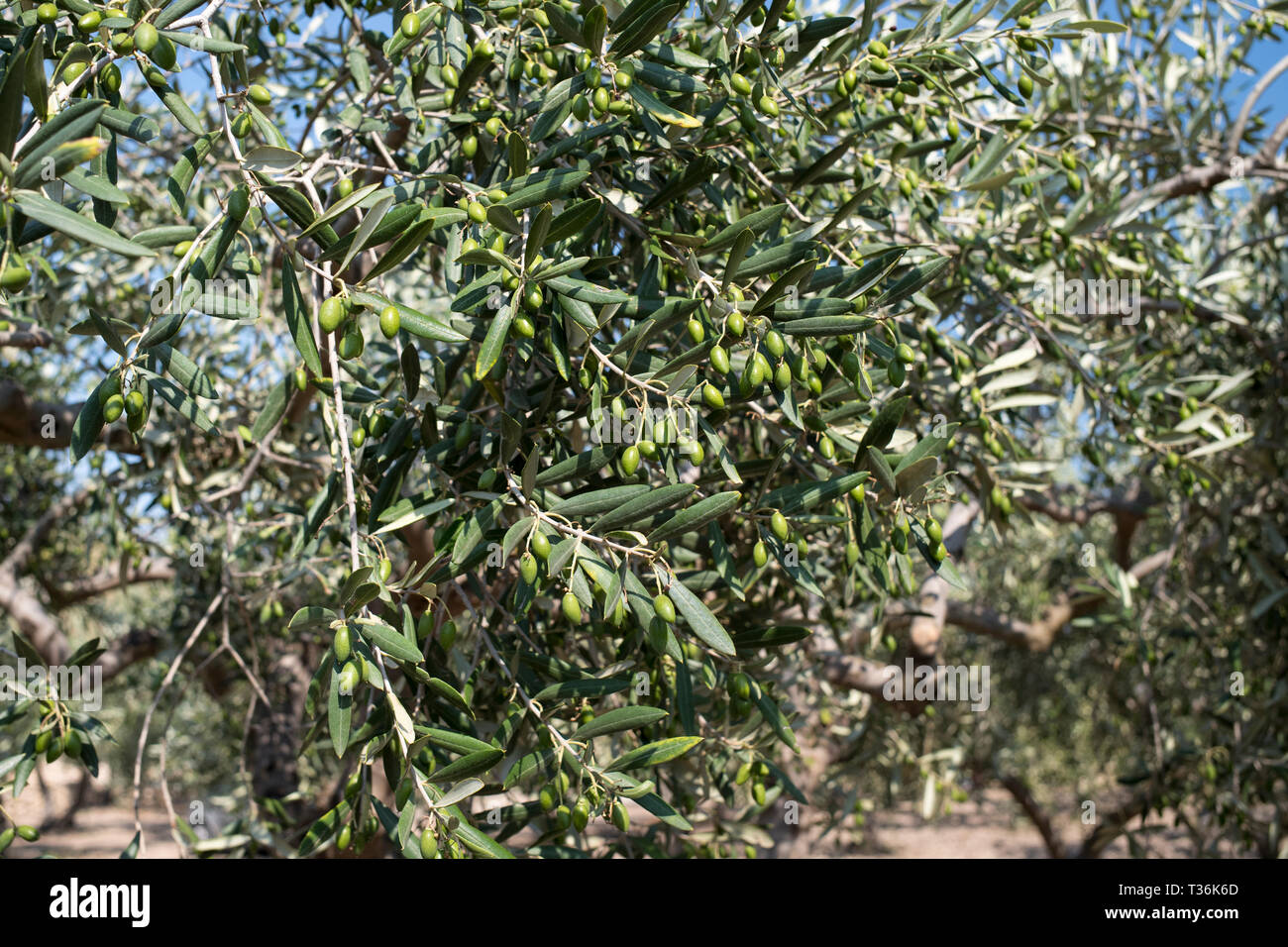Coratina olives growing for extra virgin olive oil production at Azienda Agricola Mandranova at Palma di Montechiaro in Sicily Stock Photo
