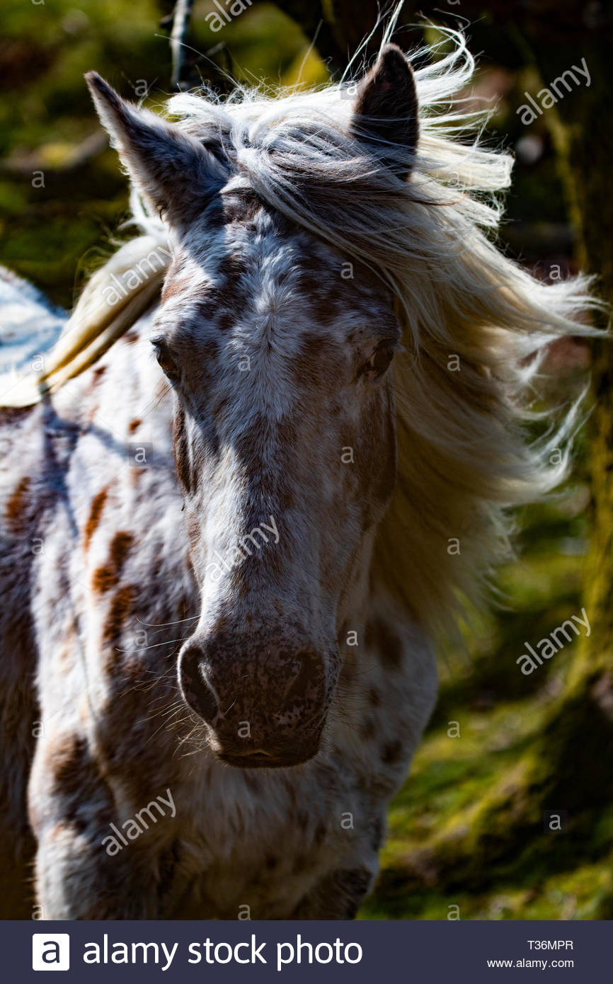 Dartmoor Pony - Stock Image