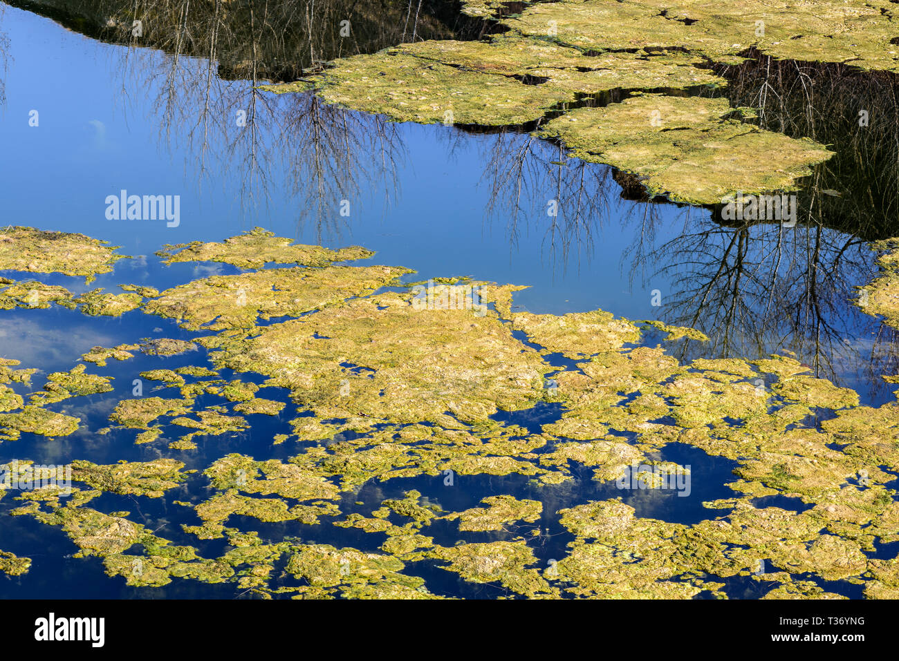 Stagnant water background with algae. Green algae cluster. Stock Photo