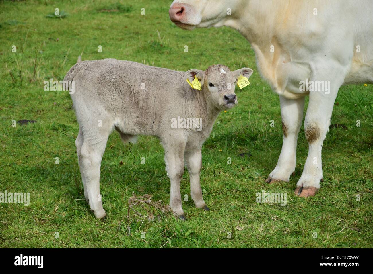 A young calf, a few days old, with its mother on a meadow in Ireland. The dried umbilical cord is still to be seen. - Stock Image