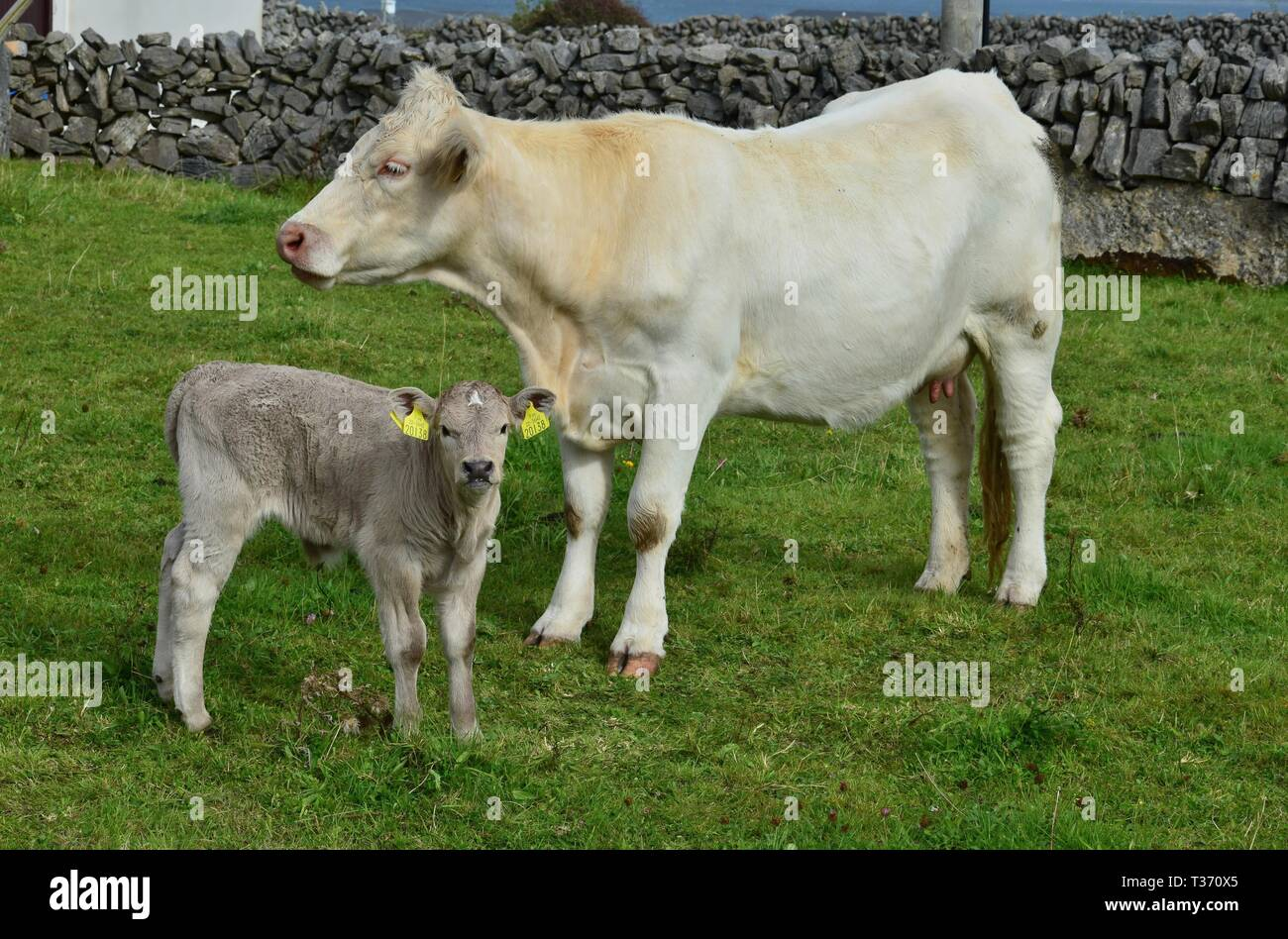 A young calf, a few days old, and its mother on a meadow in Ireland. The dried umbilical cord is still to be seen. - Stock Image
